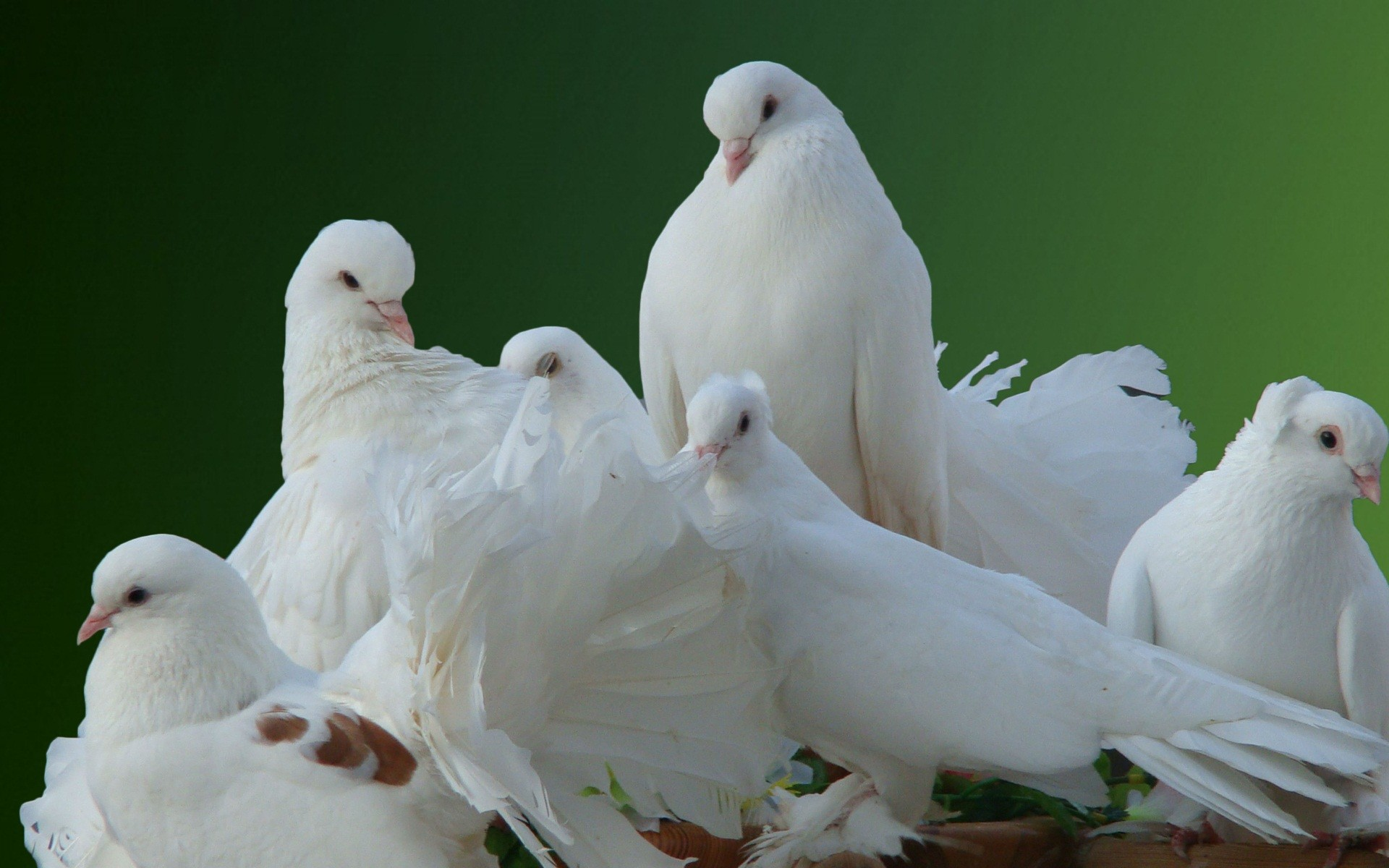 Res: 1920x1200, beautiful white pigeon birds hd wallpapers