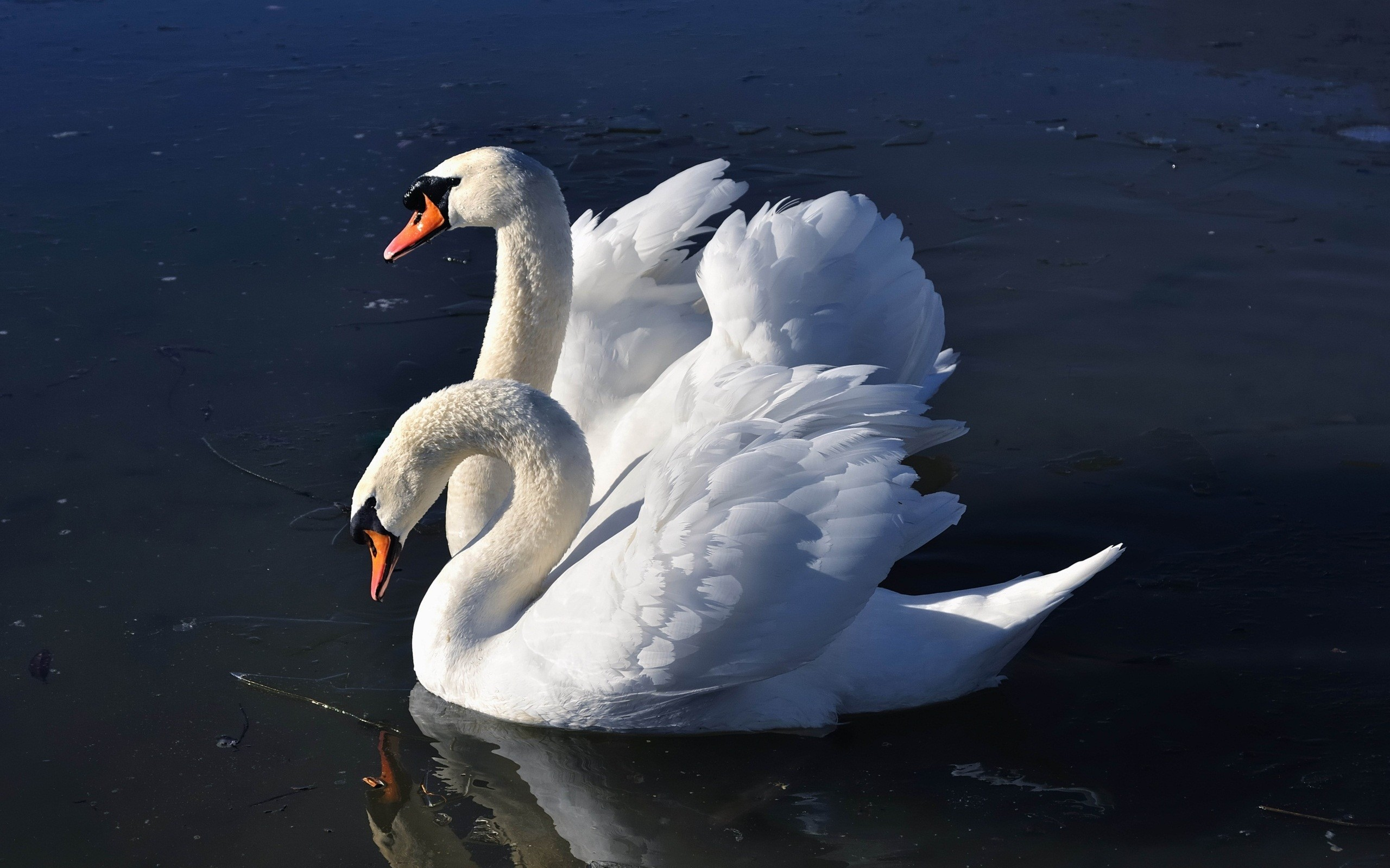 Res: 2560x1600, swan wallpapers. Â«Â«