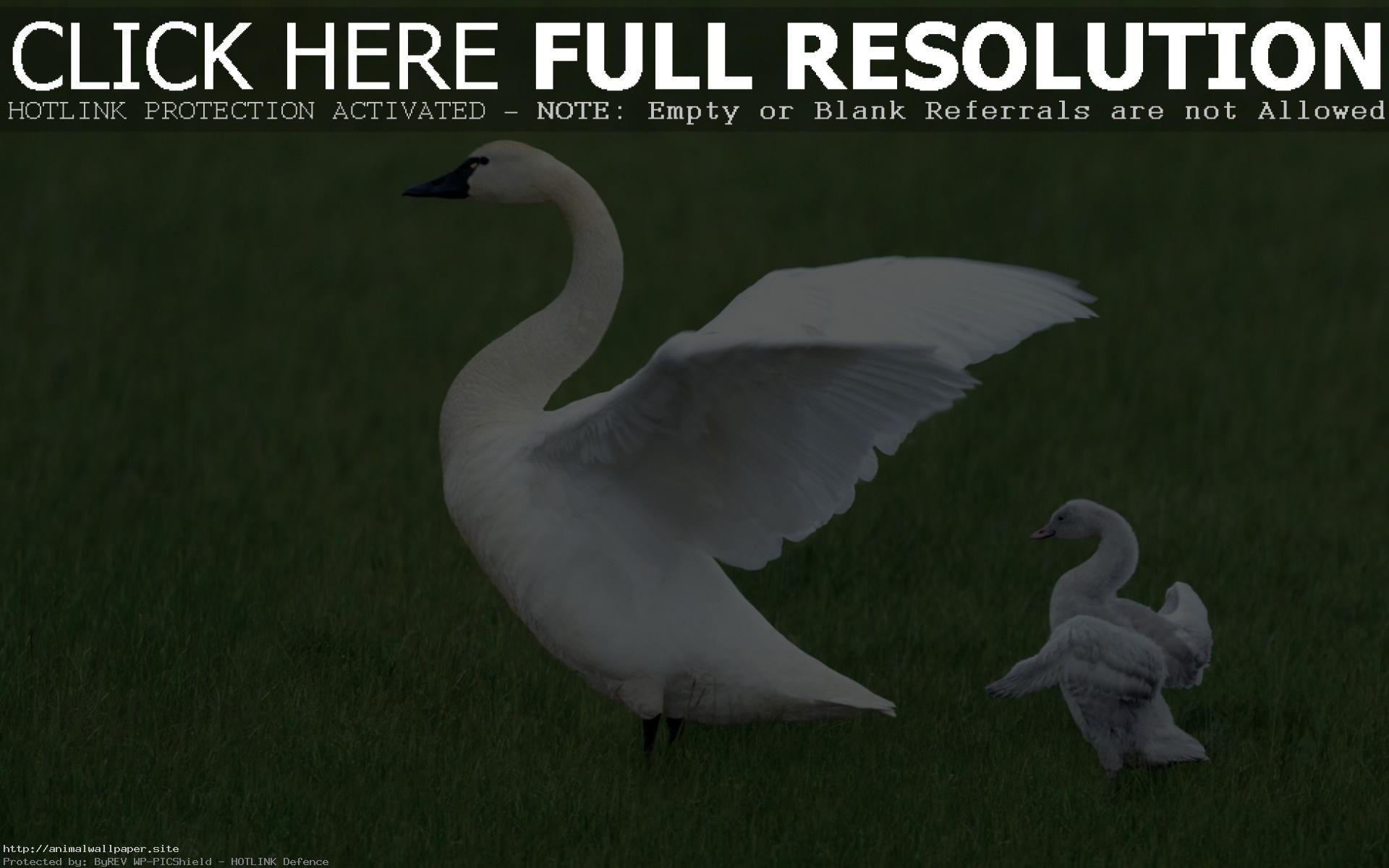Res: 1920x1200, Amazing Baby Swan Wallpaper