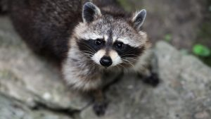 Raccoon wallpapers