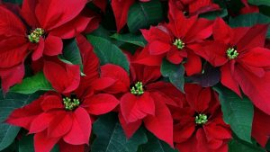Poinsettia wallpapers
