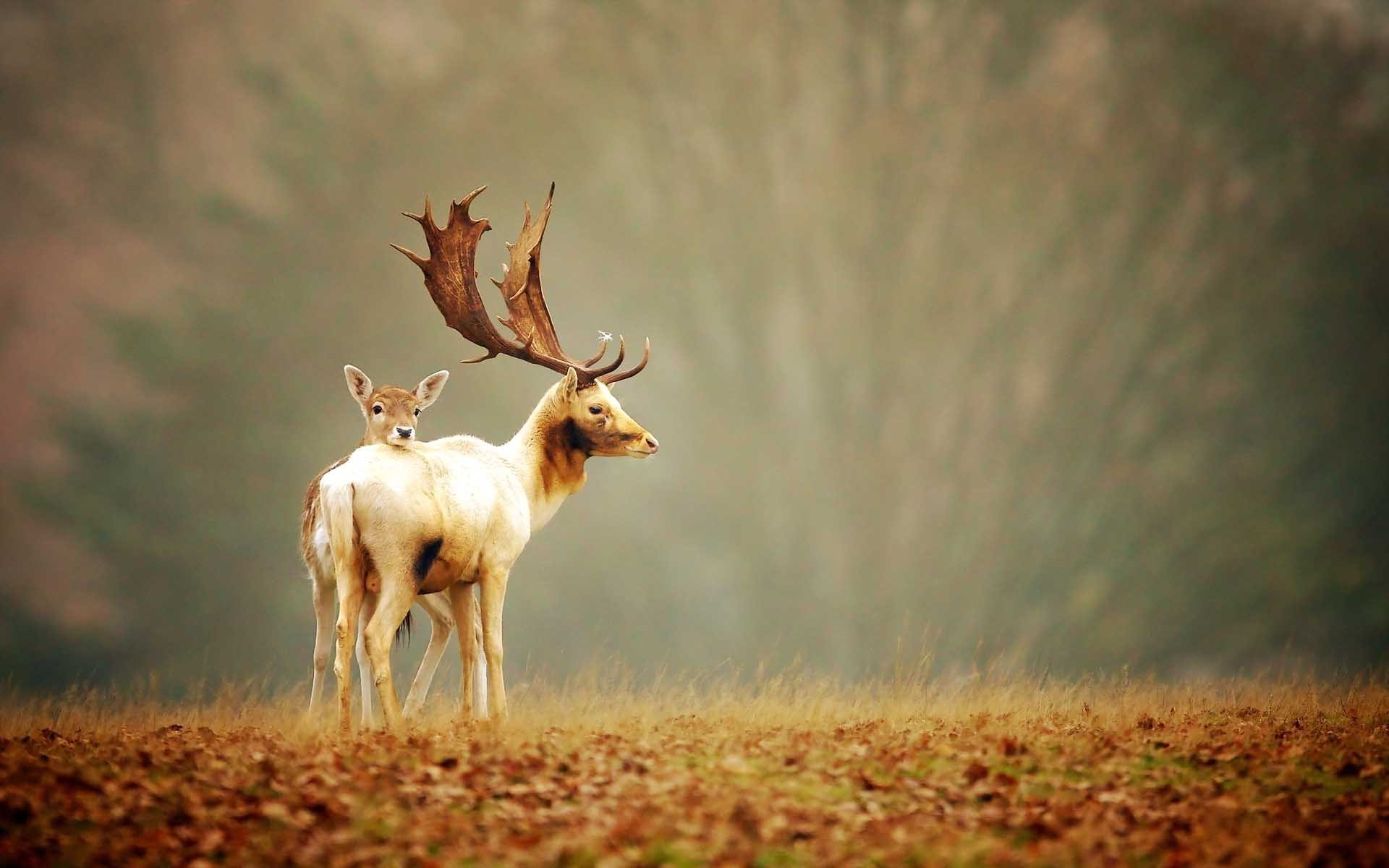 Res: 1920x1200, Deer Animals HD Photography