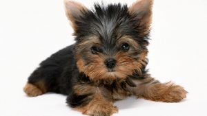 Yorkie Pictures wallpapers