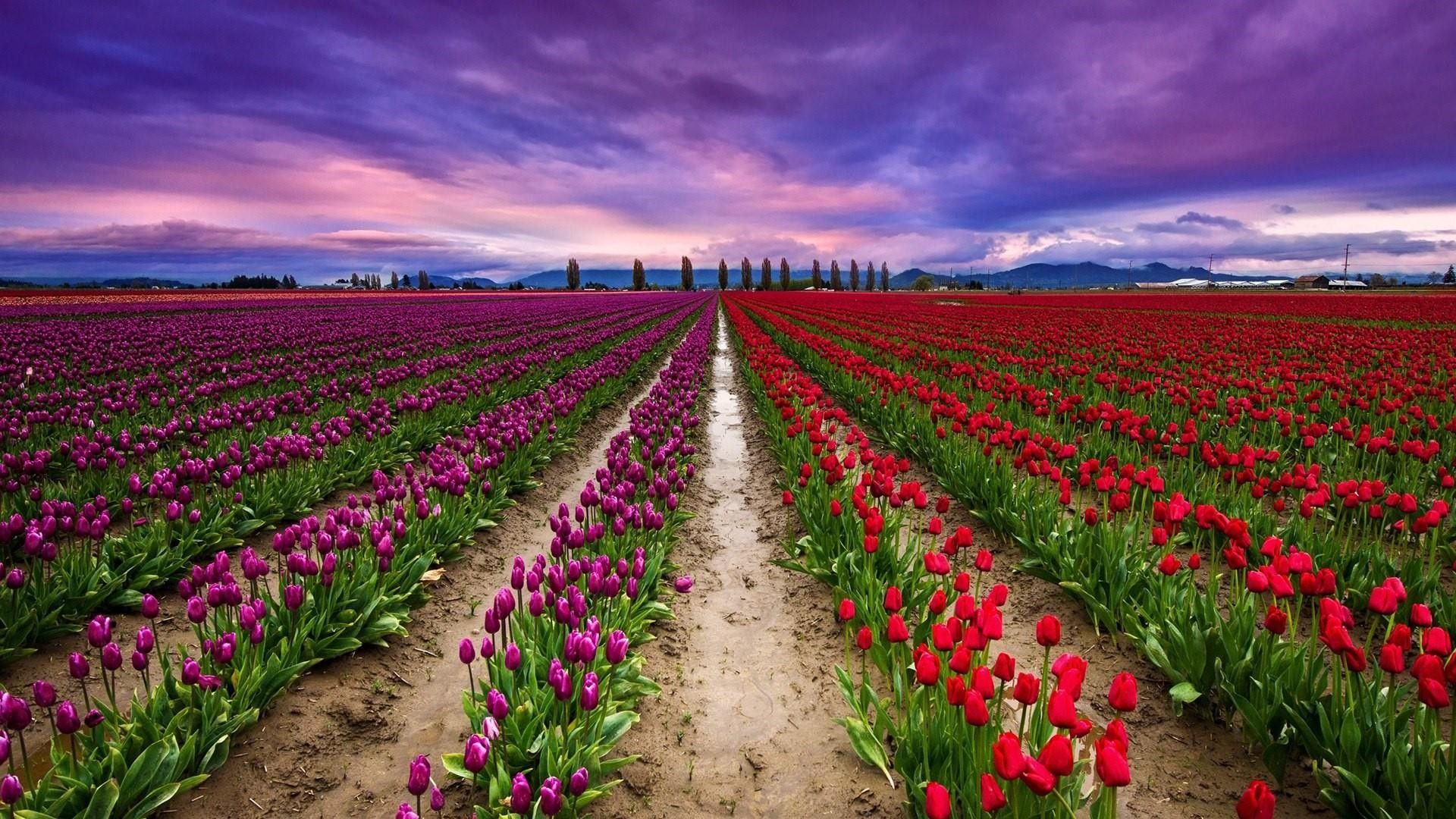 Res: 1920x1080, Keukenhof Tulip Farm Wallpaper | Wallpaper Studio 10 | Tens of thousands HD  and UltraHD wallpapers for Android, Windows and Xbox