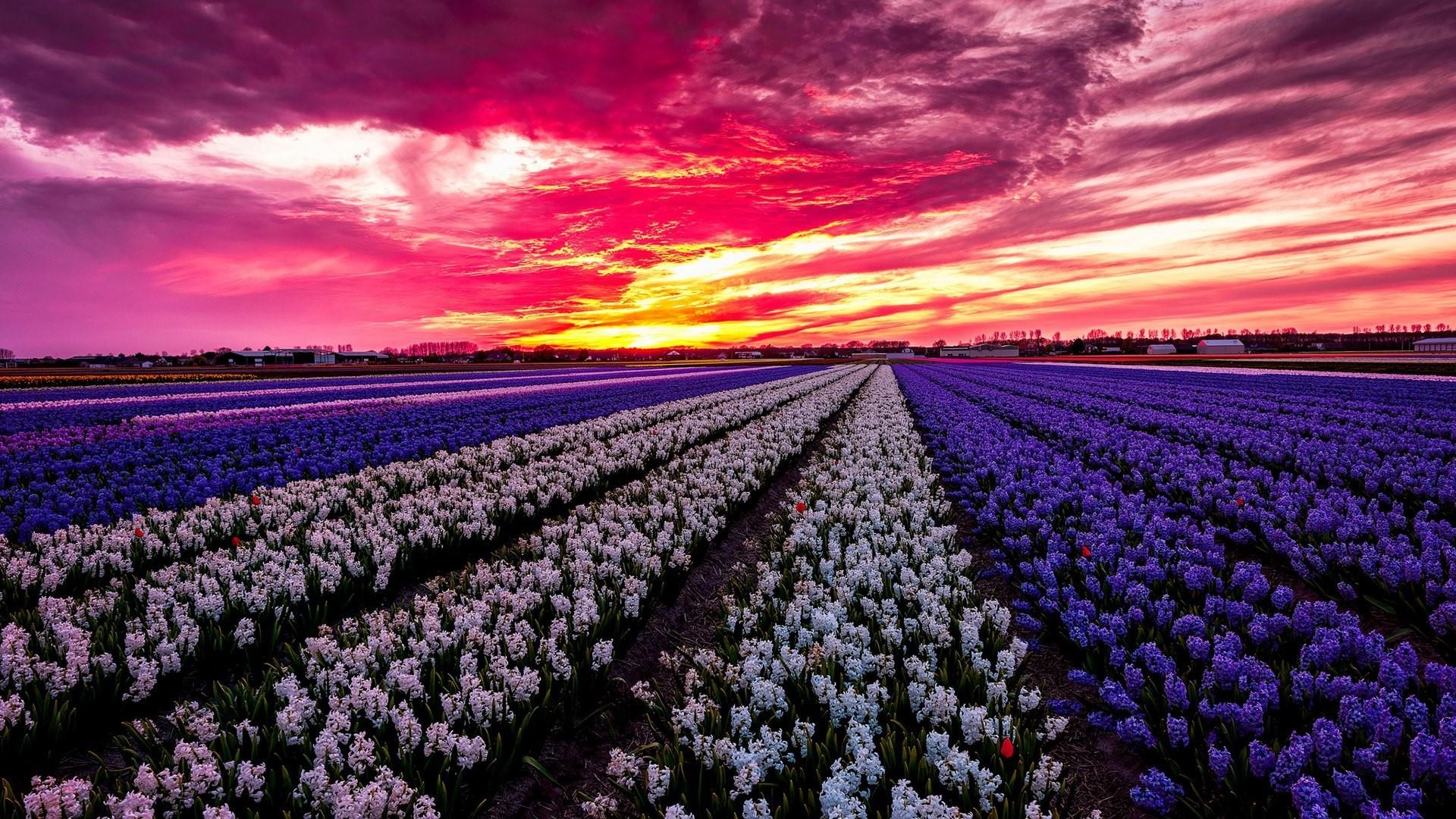 Res: 1920x1080, Hyacinth Farm Wallpaper | Wallpaper Studio 10 | Tens of thousands HD and  UltraHD wallpapers for Android, Windows and Xbox