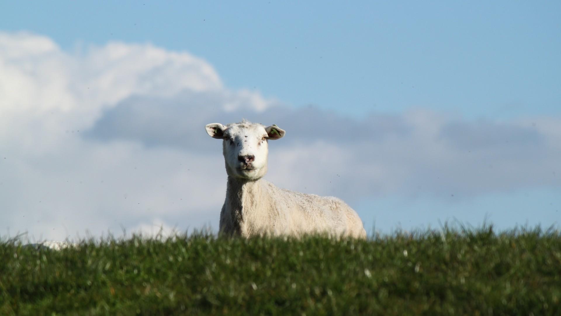 Res: 1920x1080,  Wallpaper sheep, pasture, meadow, farm