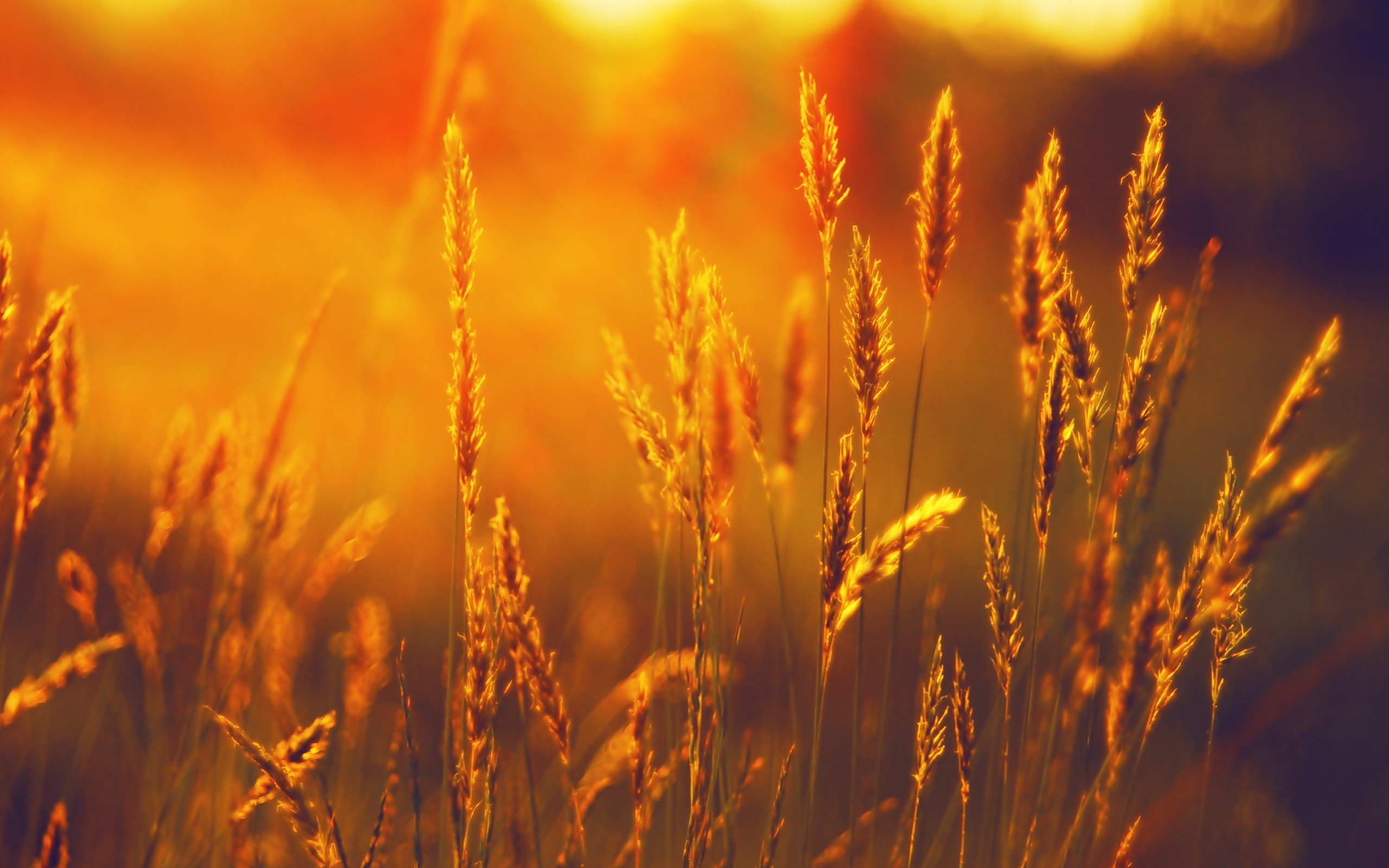 Res: 2560x1600, landscape, Summer, Field, Wheat, Sunset Wallpapers HD / Desktop and Mobile  Backgrounds