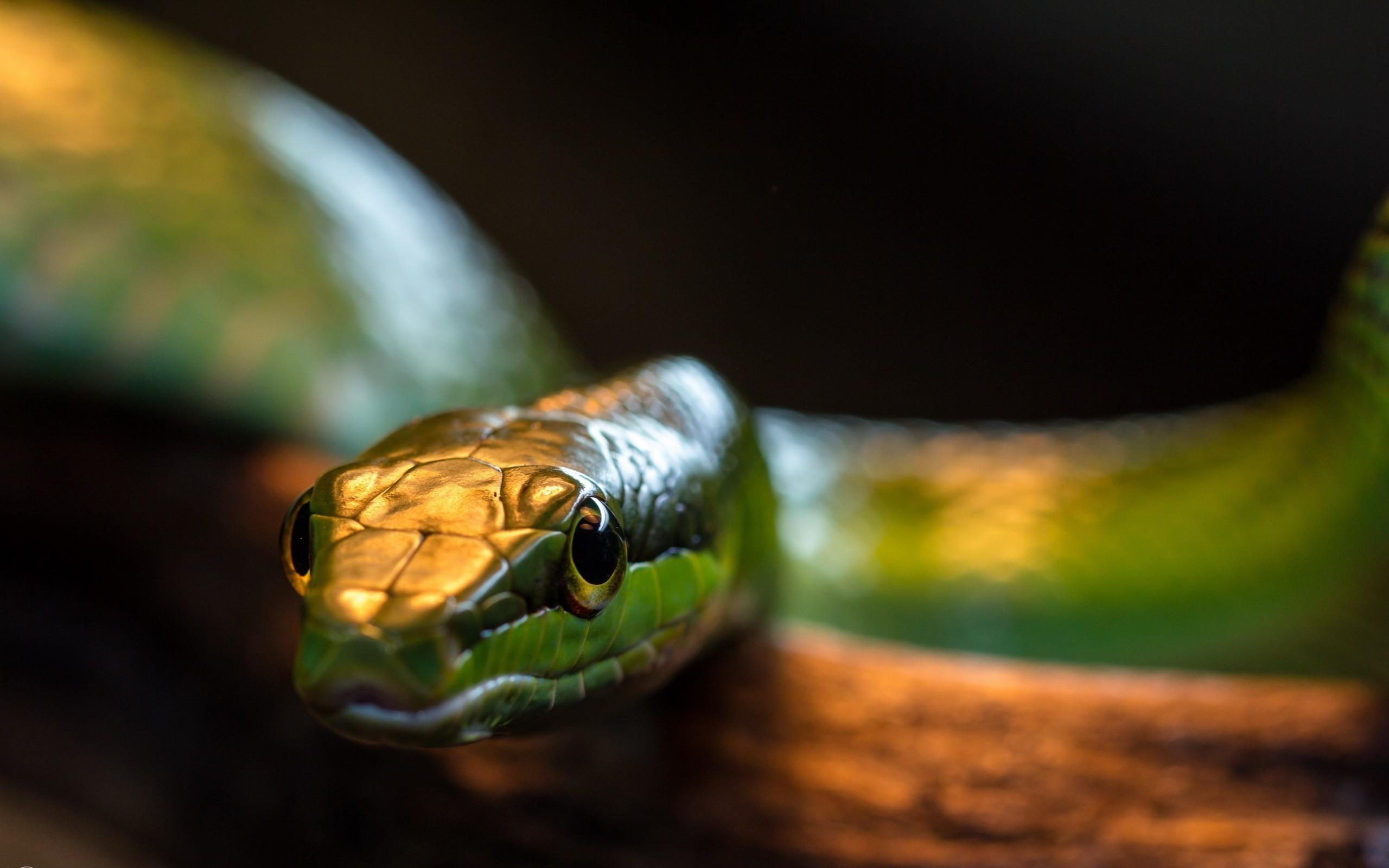 Res: 2560x1600, snakes snake eyes  wallpaper Art HD Wallpaper
