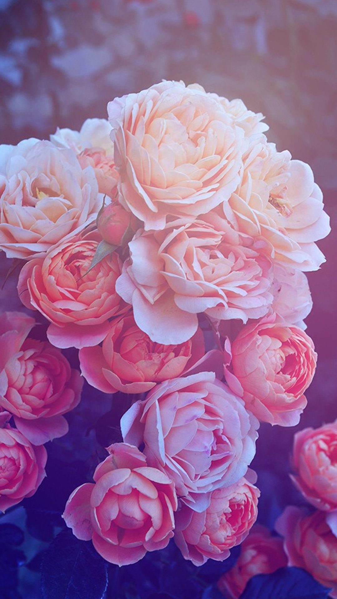 Res: 1080x1920, Pink Galaxy Iphone Wallpaper Beautiful pink roses hd wallpaper iphone 6  plus .