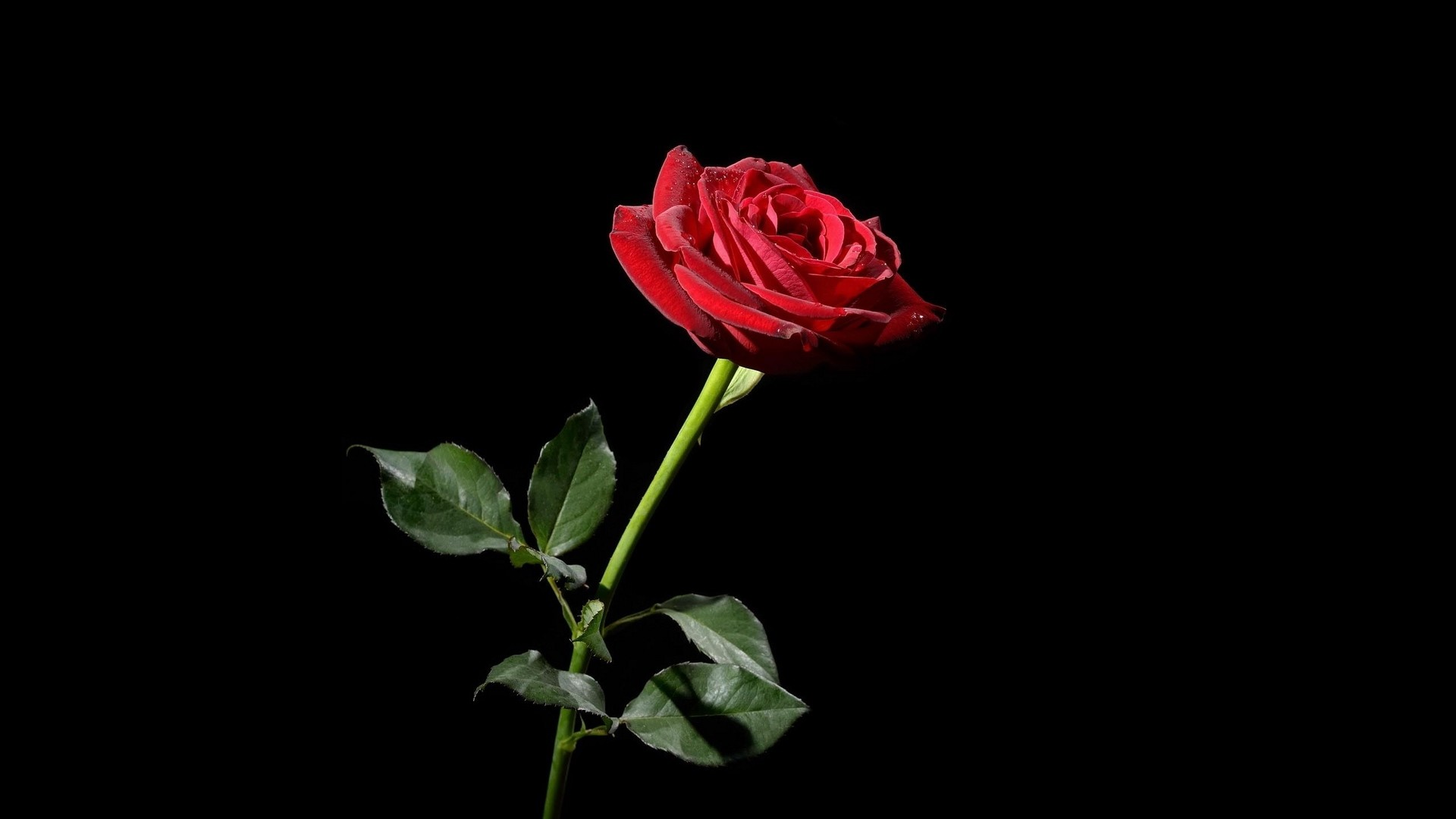 Res: 1920x1080,  Wallpaper rose, red, flower, black background