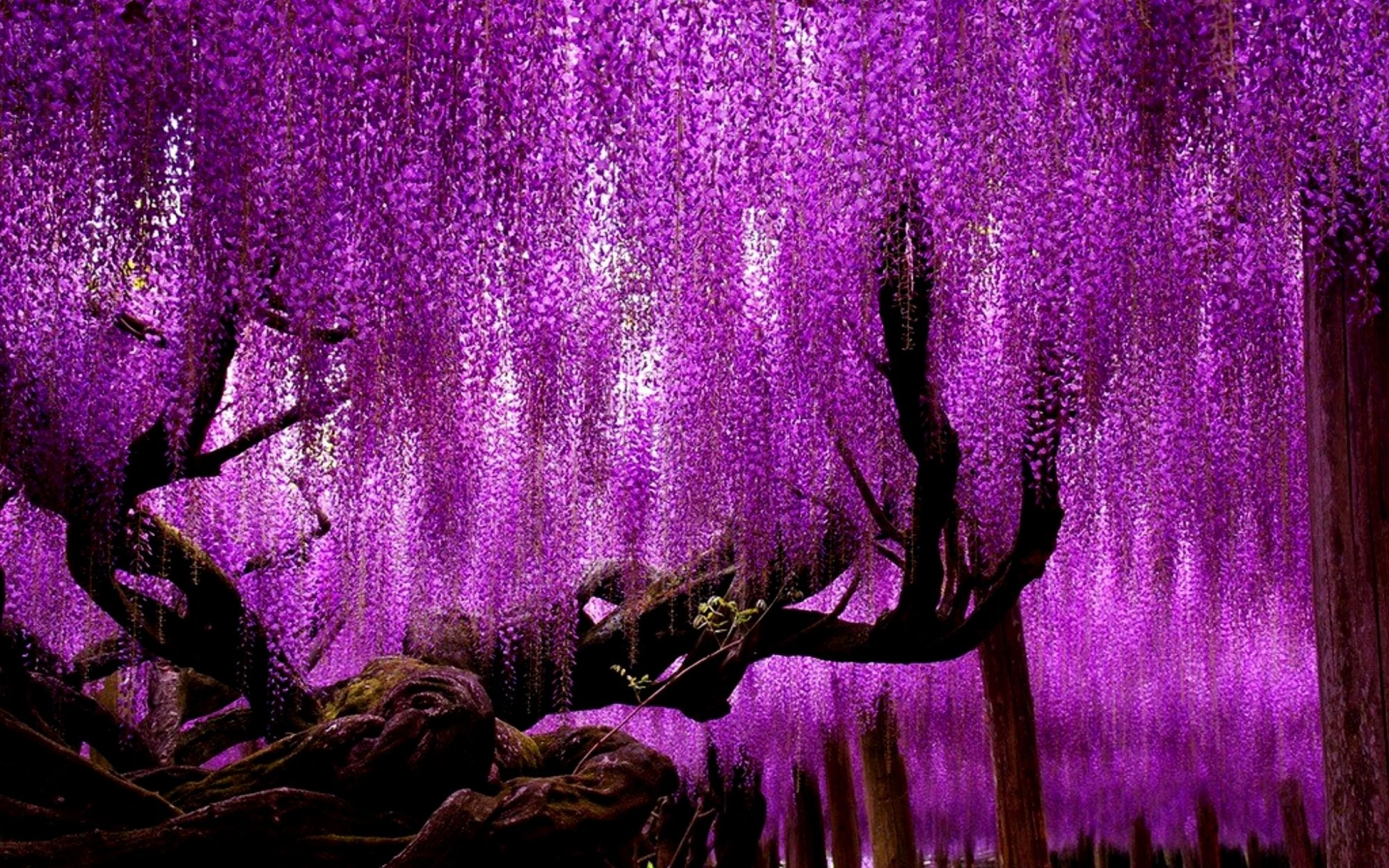 Res: 2560x1600, Purple-Flowers-Wisteria-Tree-Wallpaper