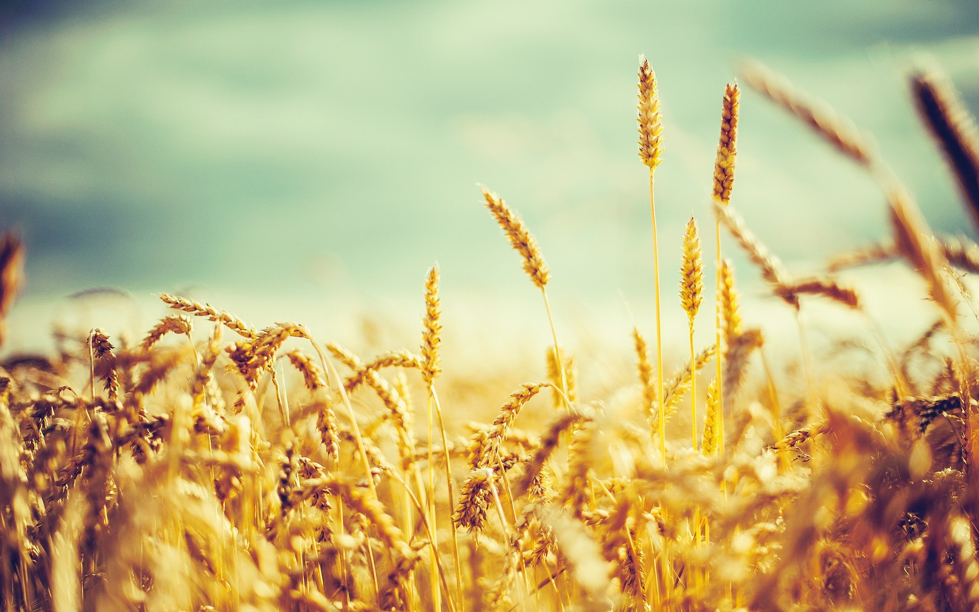 Res: 1920x1200, ... By Kayleigh Hegwood V.791: Amazing Wheat Pictures & Backgrounds ...