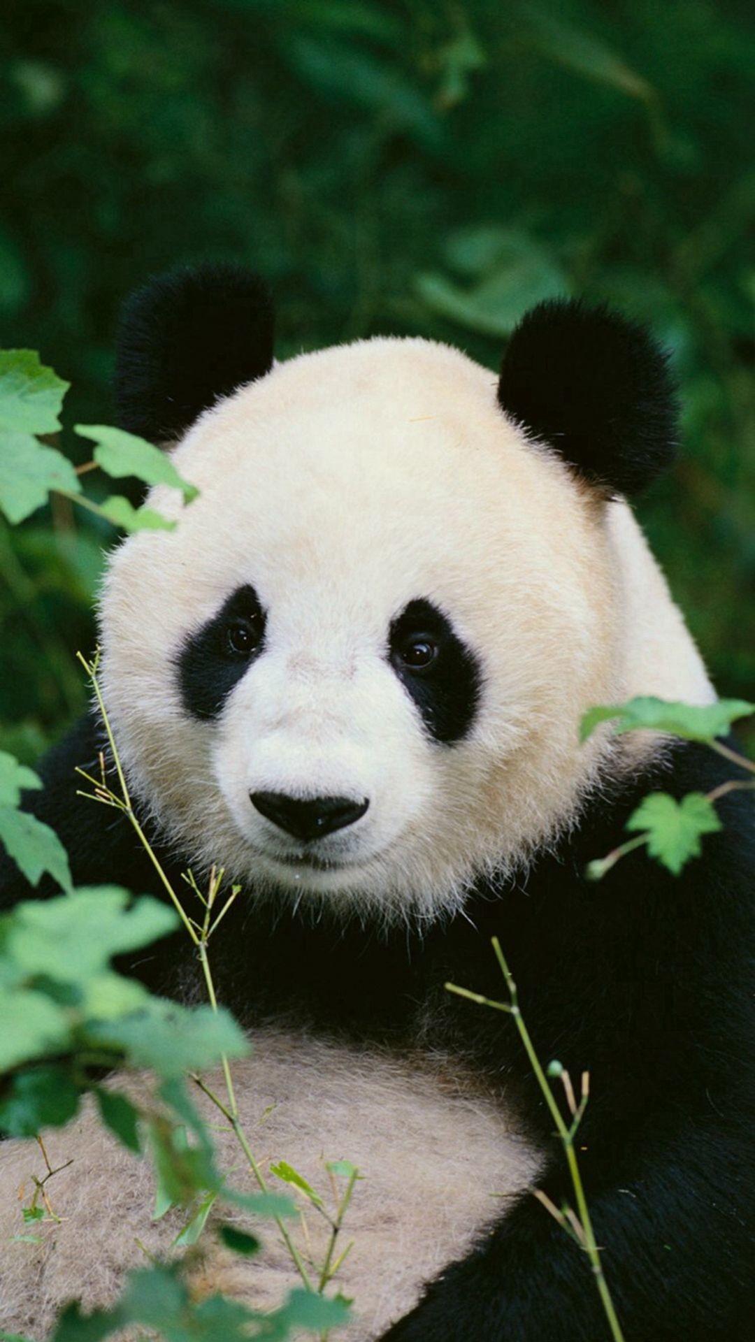 Res: 1080x1920, Panda Woods Nature #iPhone #6 #plus #wallpaper