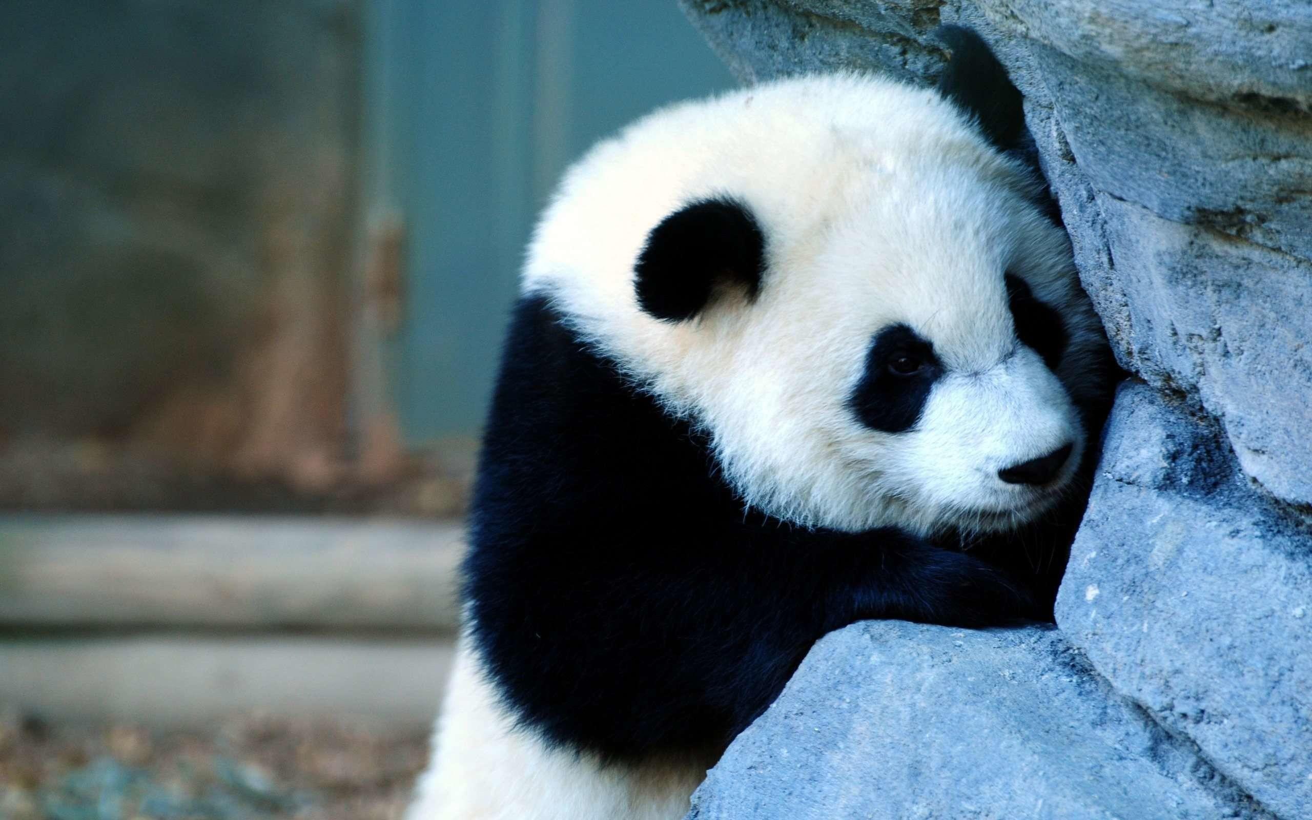 Res: 2560x1600,  Wallpapers For > Cute Panda Wallpaper Iphone