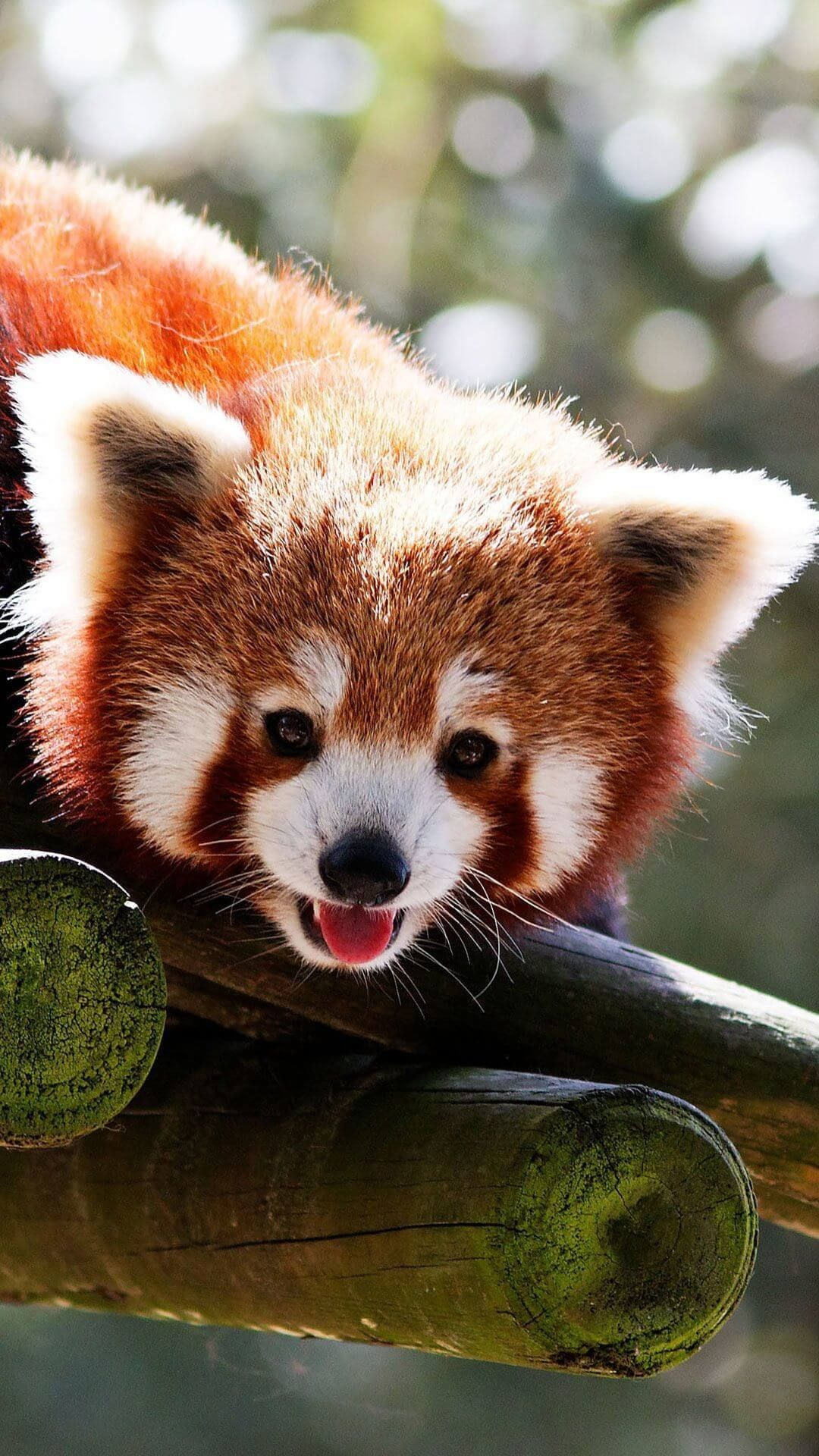 Res: 1080x1920, Cute Baby Red Pandas Wallpaper iPhone HD