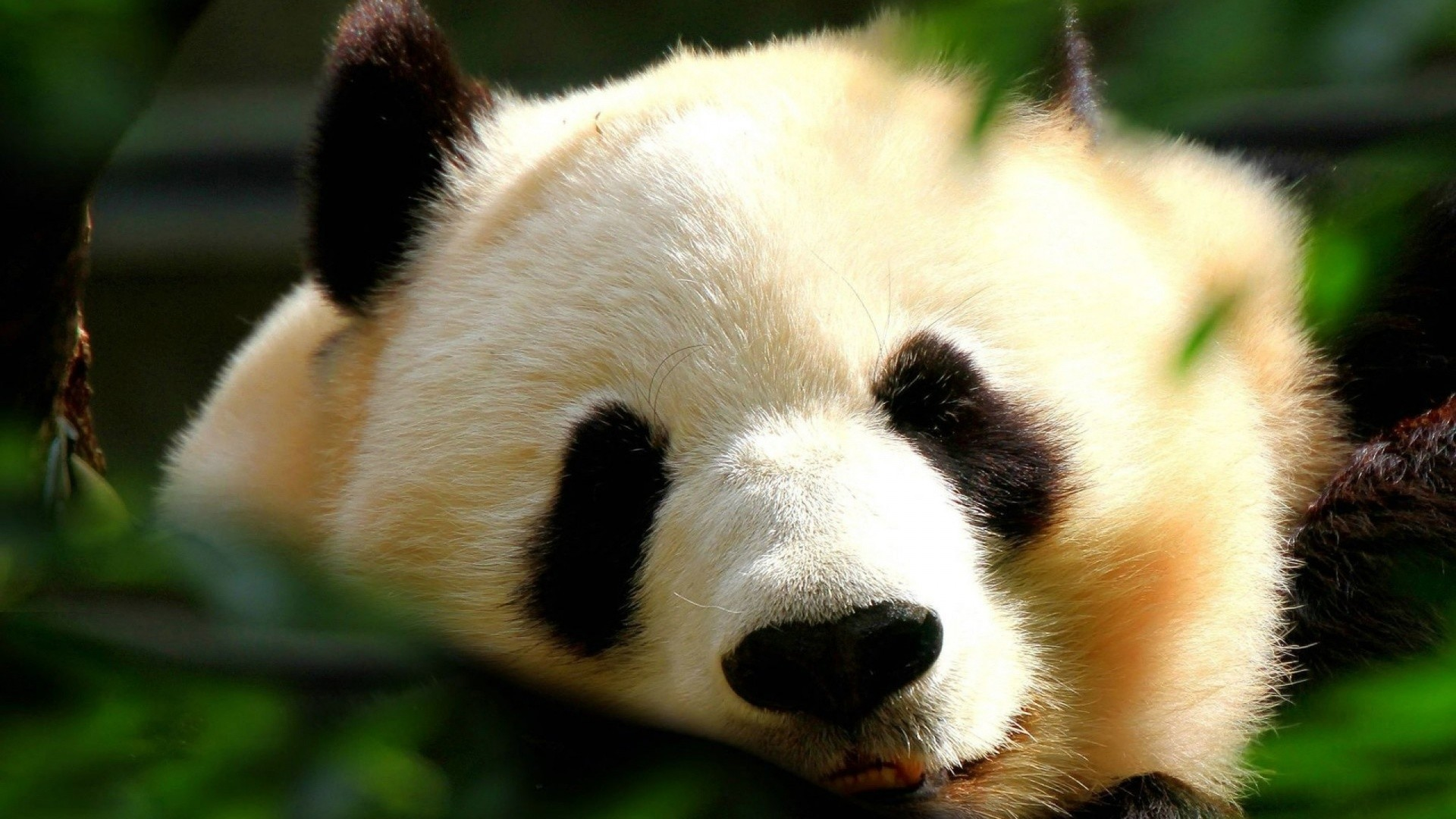 Res: 1920x1080,  cute panda wallpaper 15783