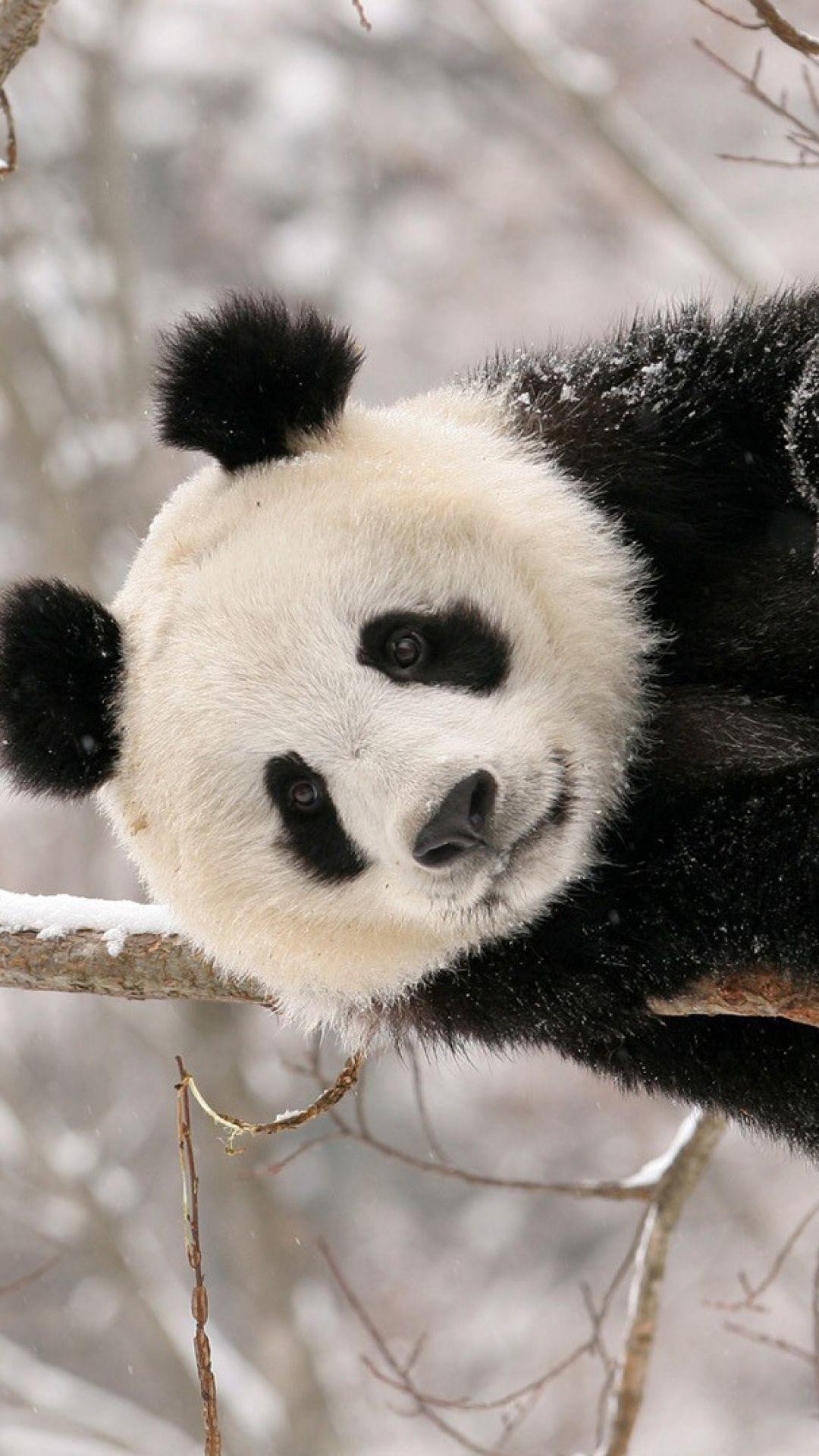 Res: 1080x1920,  Wallpaper panda, branch, sit, snow