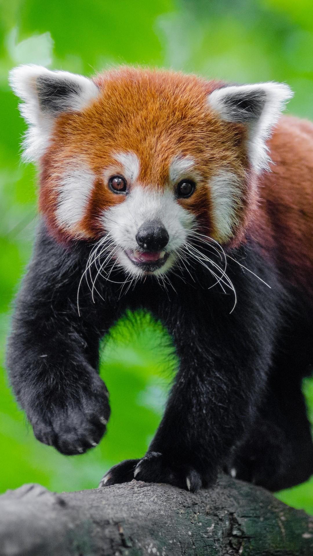 Res: 1080x1920, Red Panda, Cute, Rock