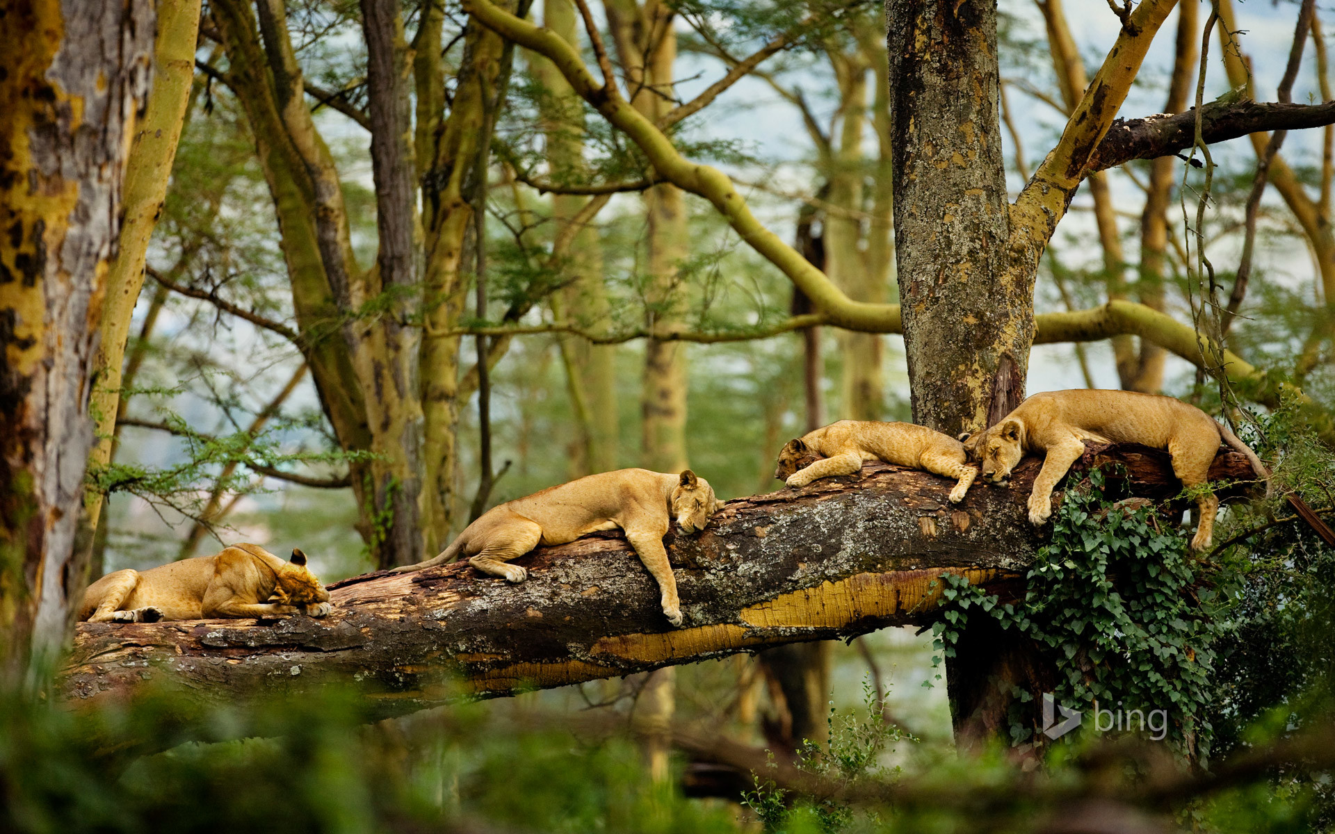 Res: 1920x1200, Sleeping Lions