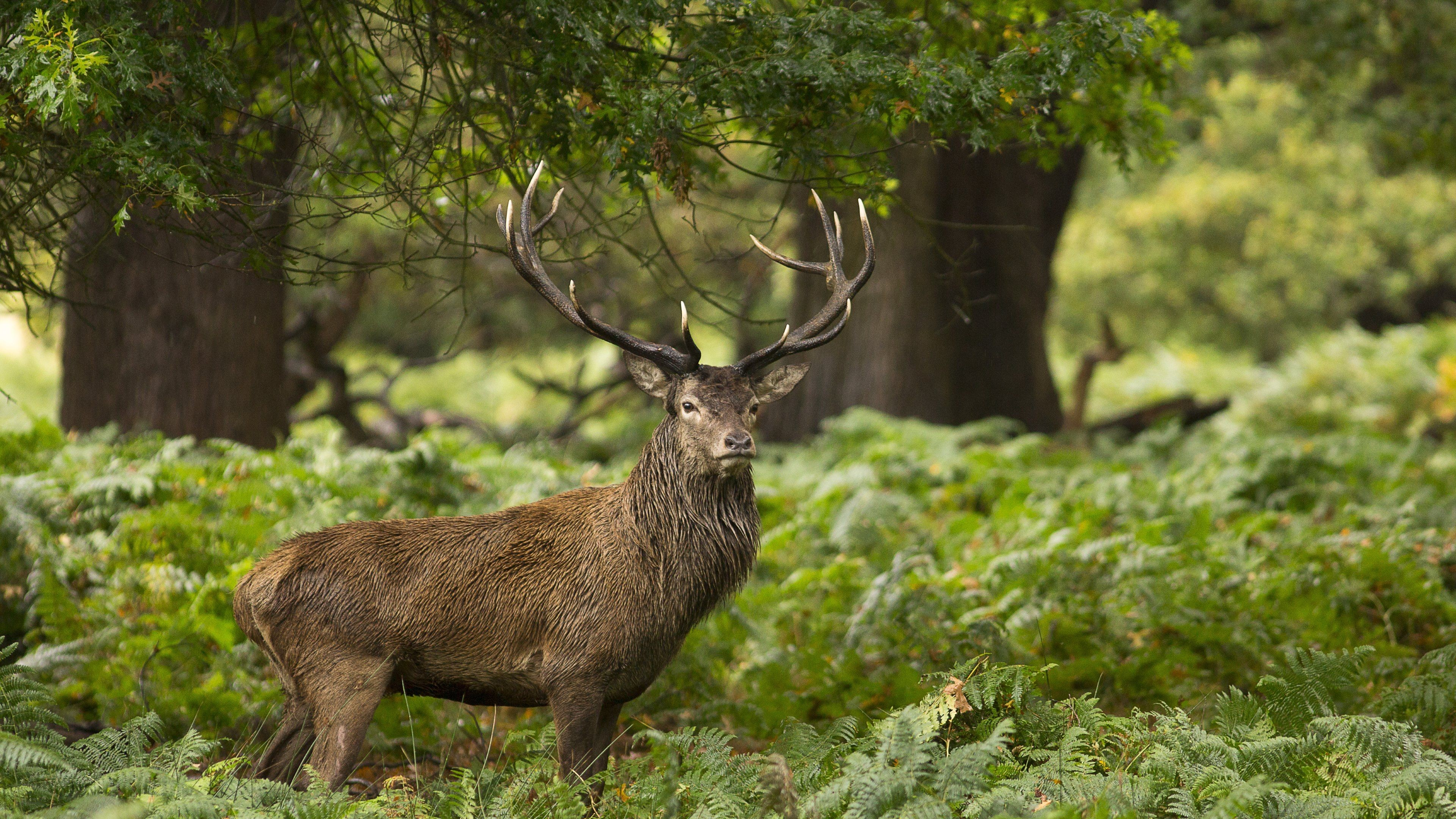 Res: 3840x2160, Forest Animals Wild Stag Deer uhd wallpapers - Ultra High .