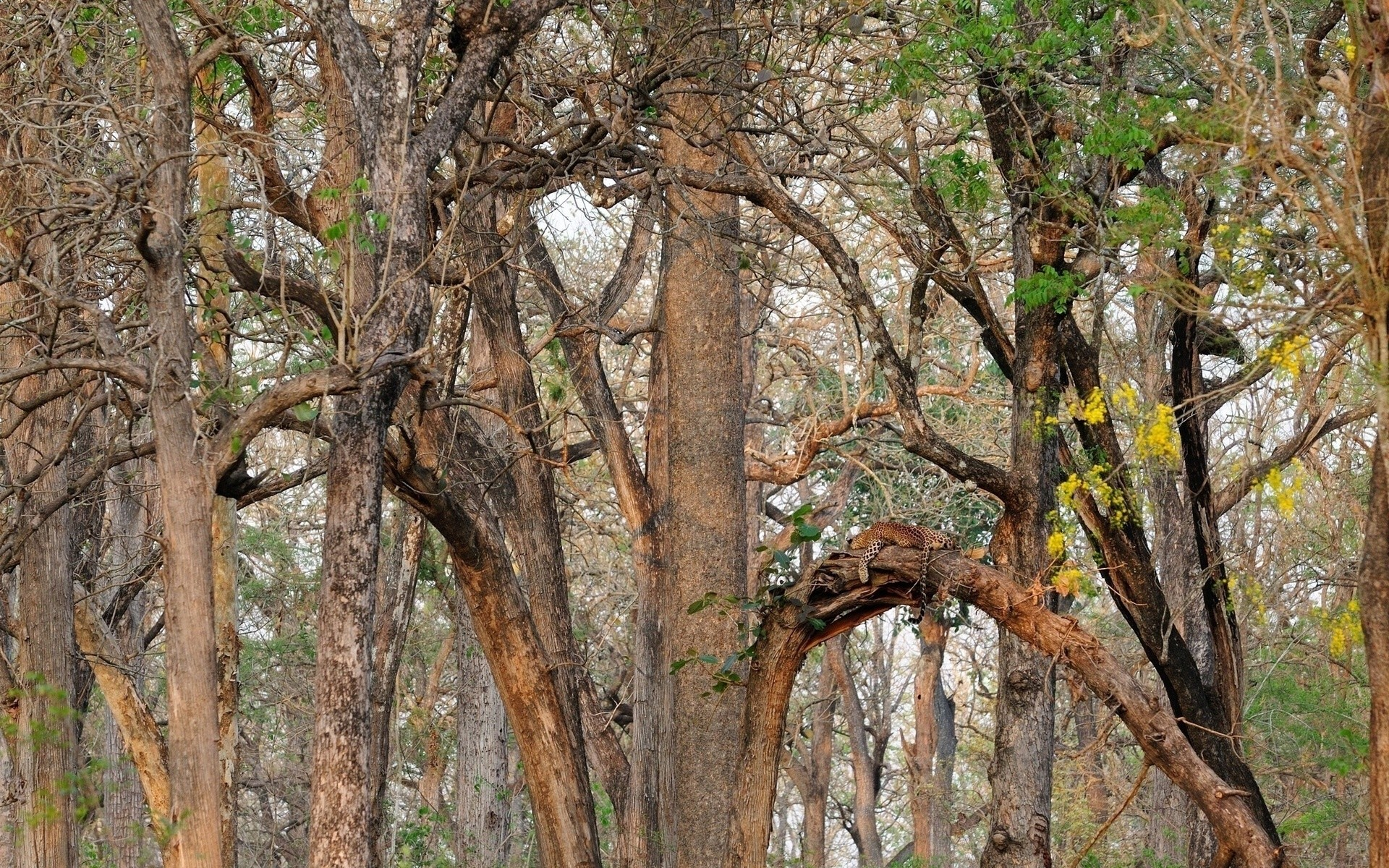 Res: 1920x1200, Leopard wild cat camouflage forest trees wallpaper      76554    WallpaperUP
