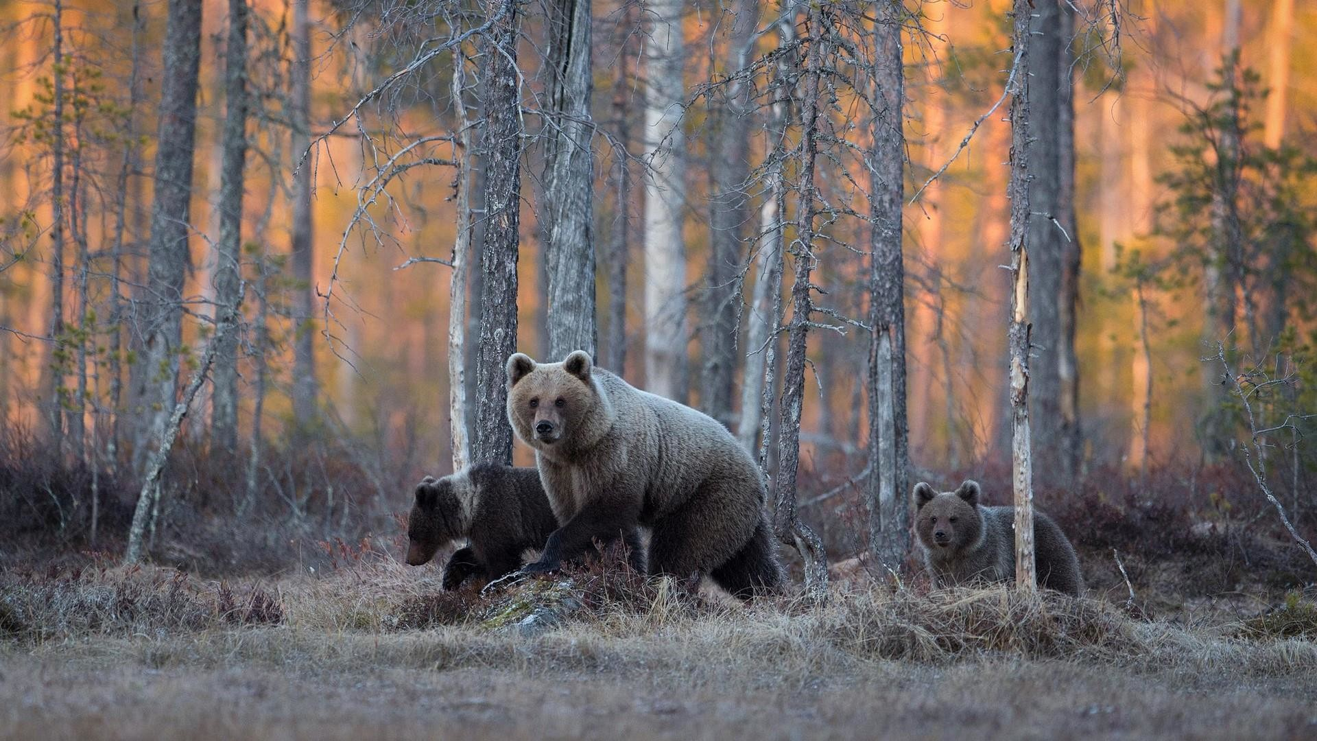 Res: 1920x1080, Grizzly Bear In The Pine Forest Wallpaper   Wallpaper Studio 10   Tens of  thousands HD and UltraHD wallpapers for Android, Windows and Xbox