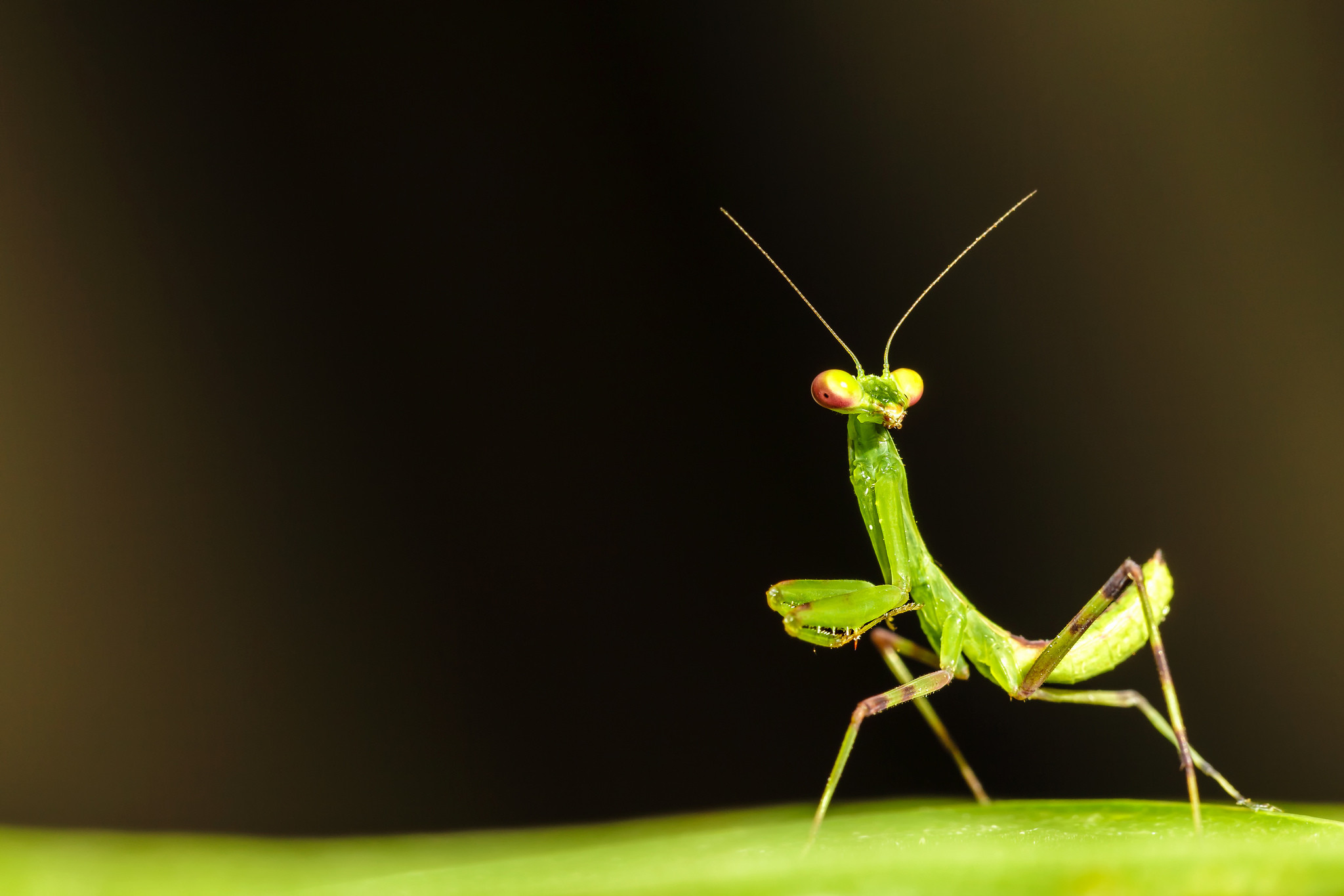 Res: 2048x1365, Praying Mantis Wallpaper 1