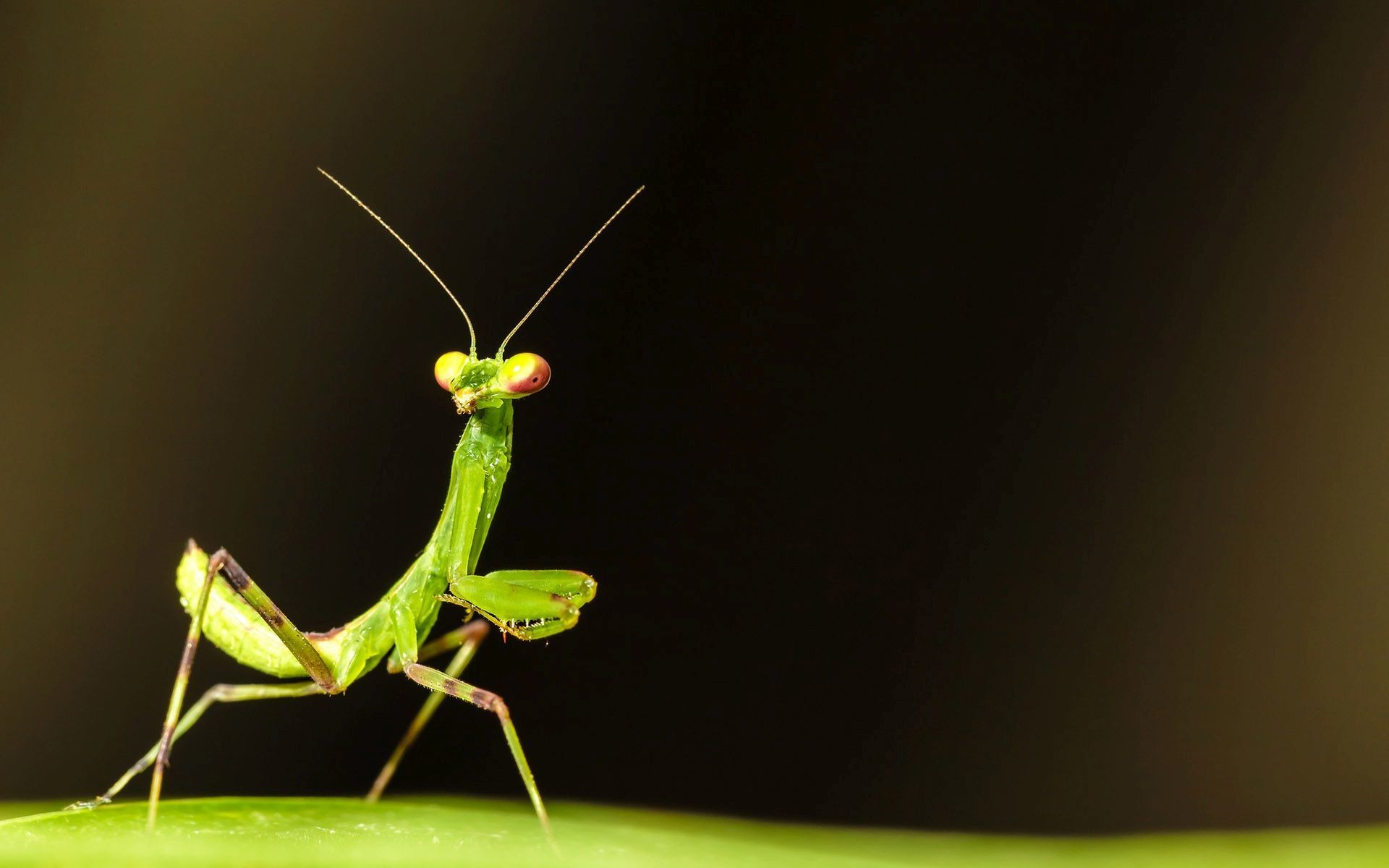 Res: 1920x1200, Praying Mantis Wallpapers 5 - 1920 X 1200