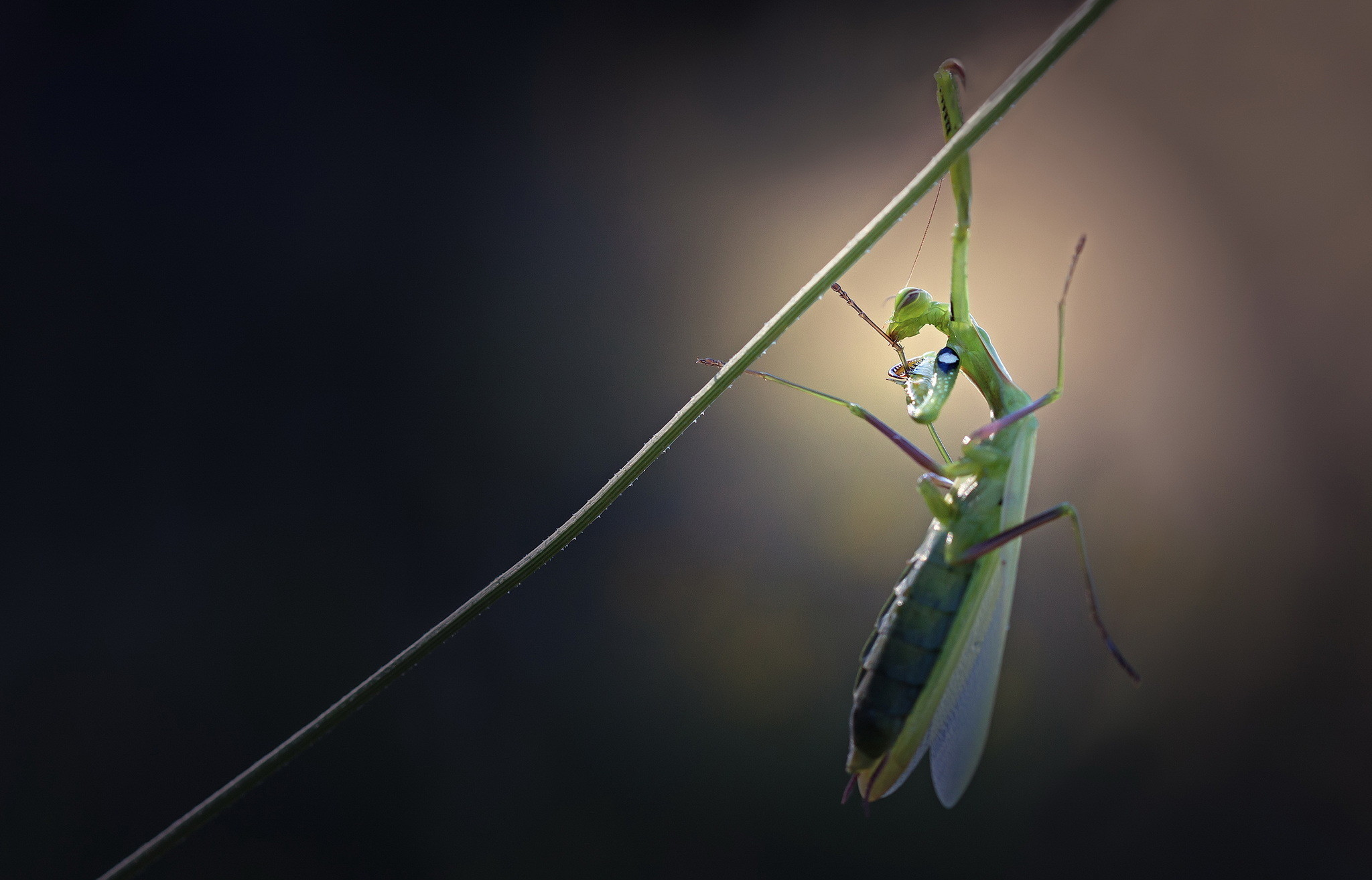 Res: 2048x1314, Animal - Praying Mantis Wallpaper