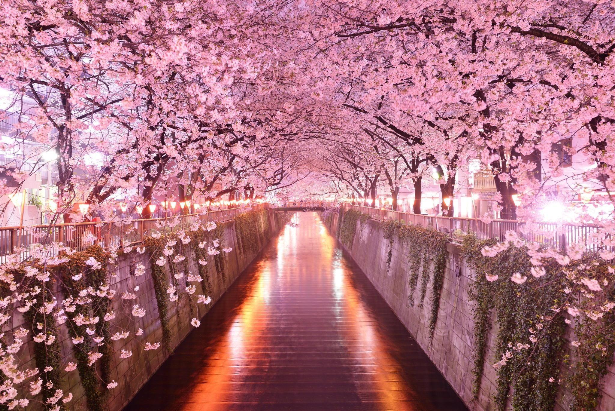 Res: 2048x1367, Japan Sakura Background Wallpapers HD Wallpapers  px 746.72 KB