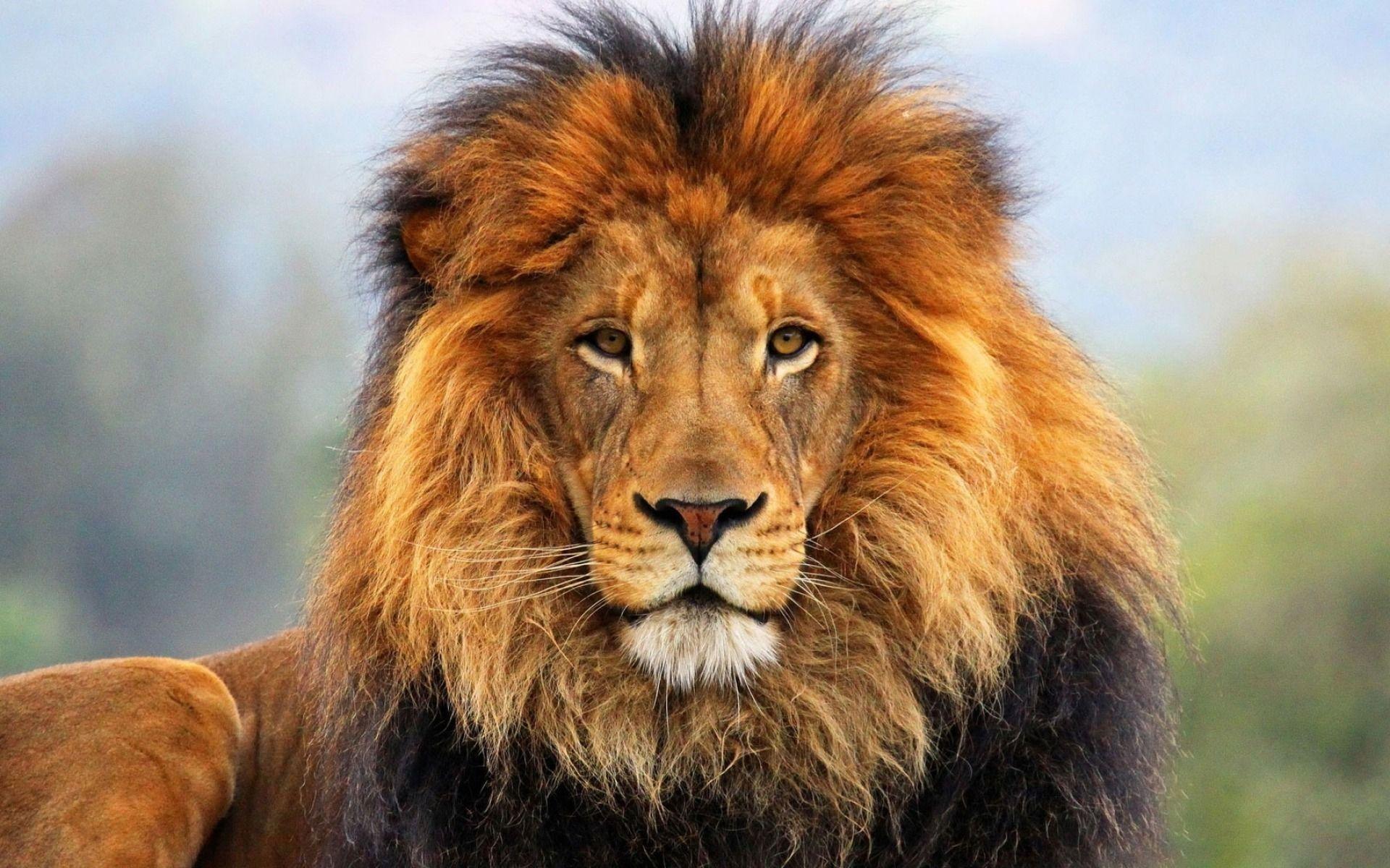 Res: 1920x1200, face eyes lion fur mane-Animal HD Wallpaper -  wallpaper .