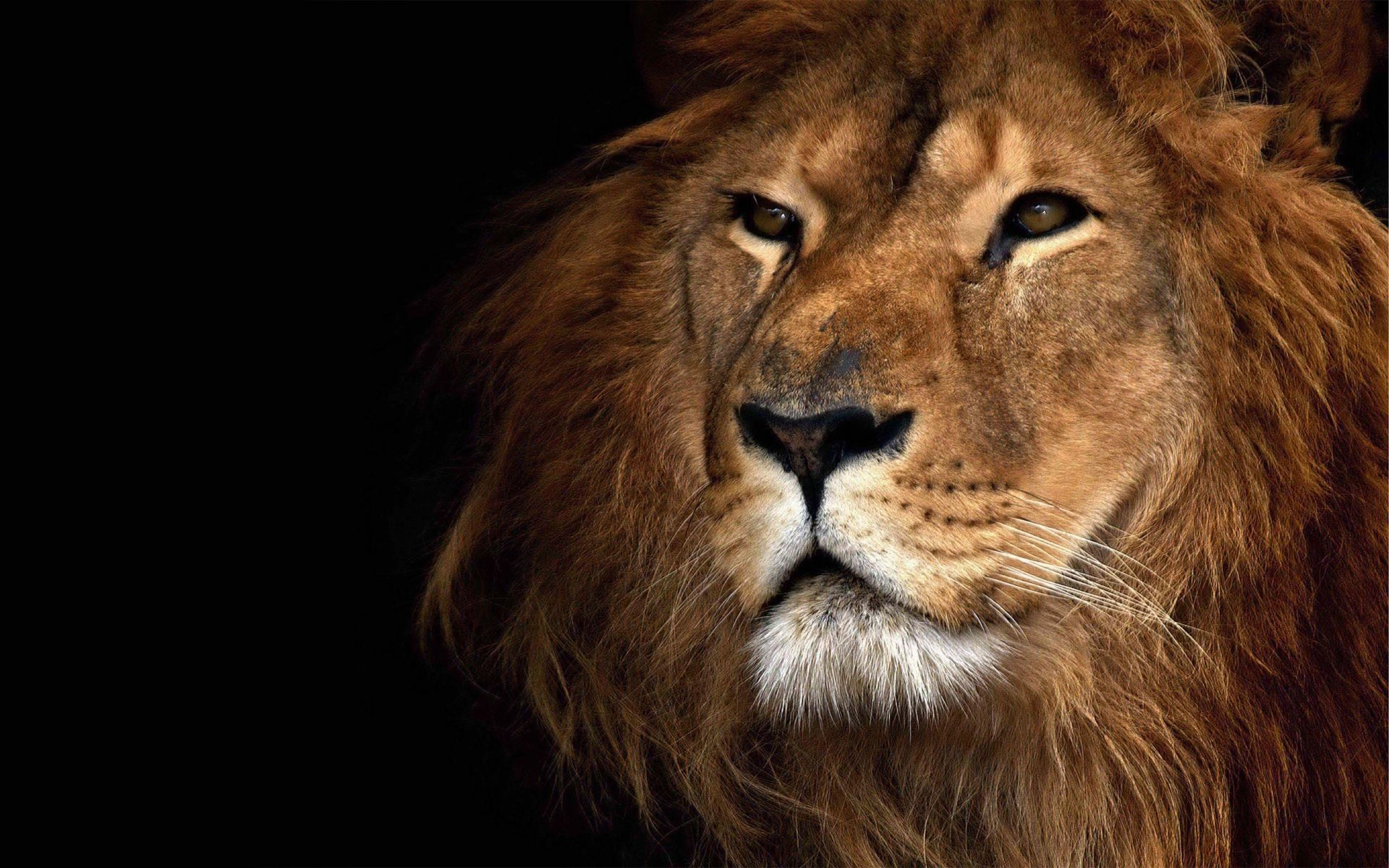 Res: 1920x1200, Lion Face Wallpaper   HD Animals and Birds Wallpaper Free Download ...