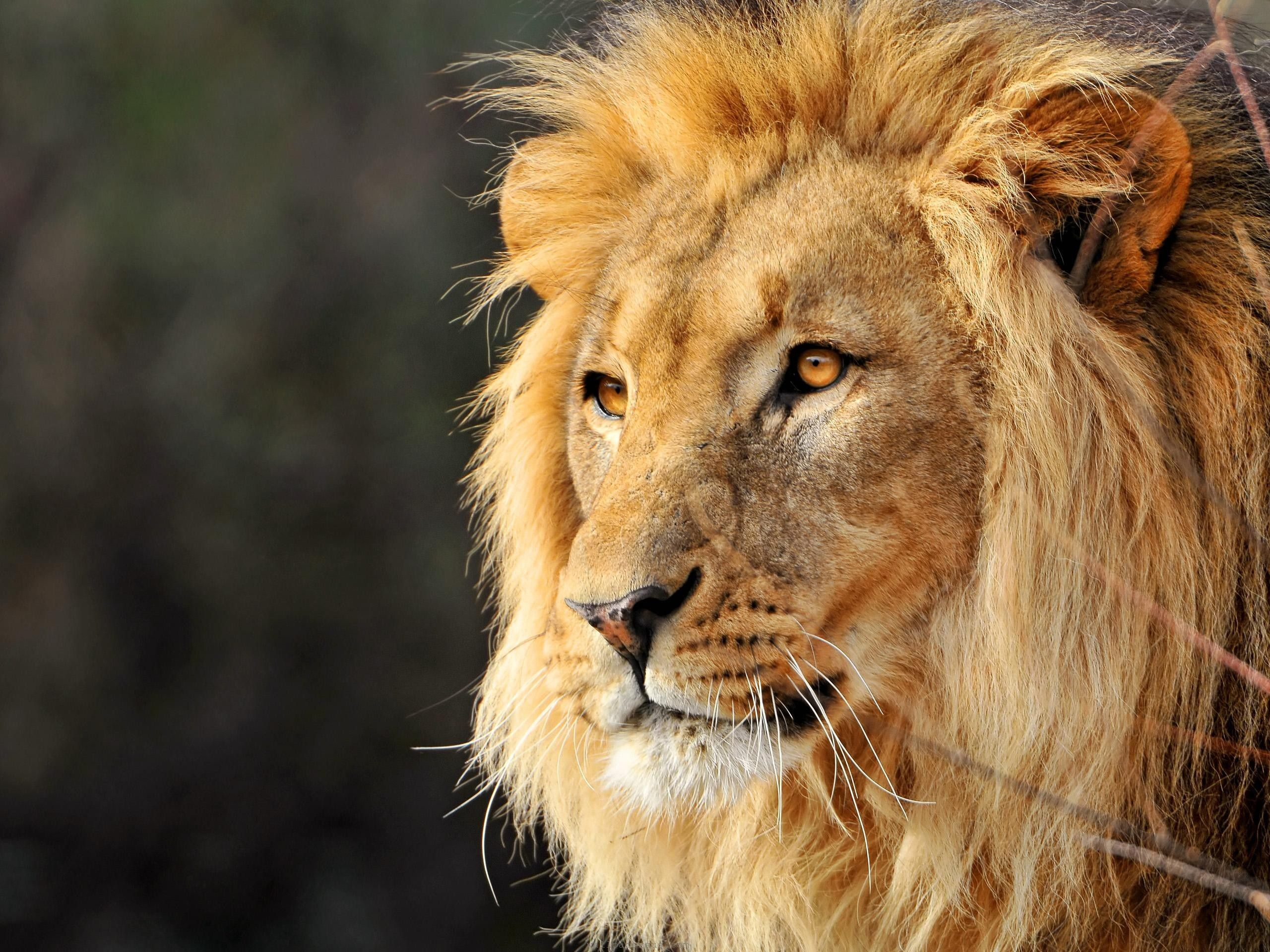 Res: 2560x1920, The Lion Face Wallpaper HD wallpapers - The Lion Face Wallpaper