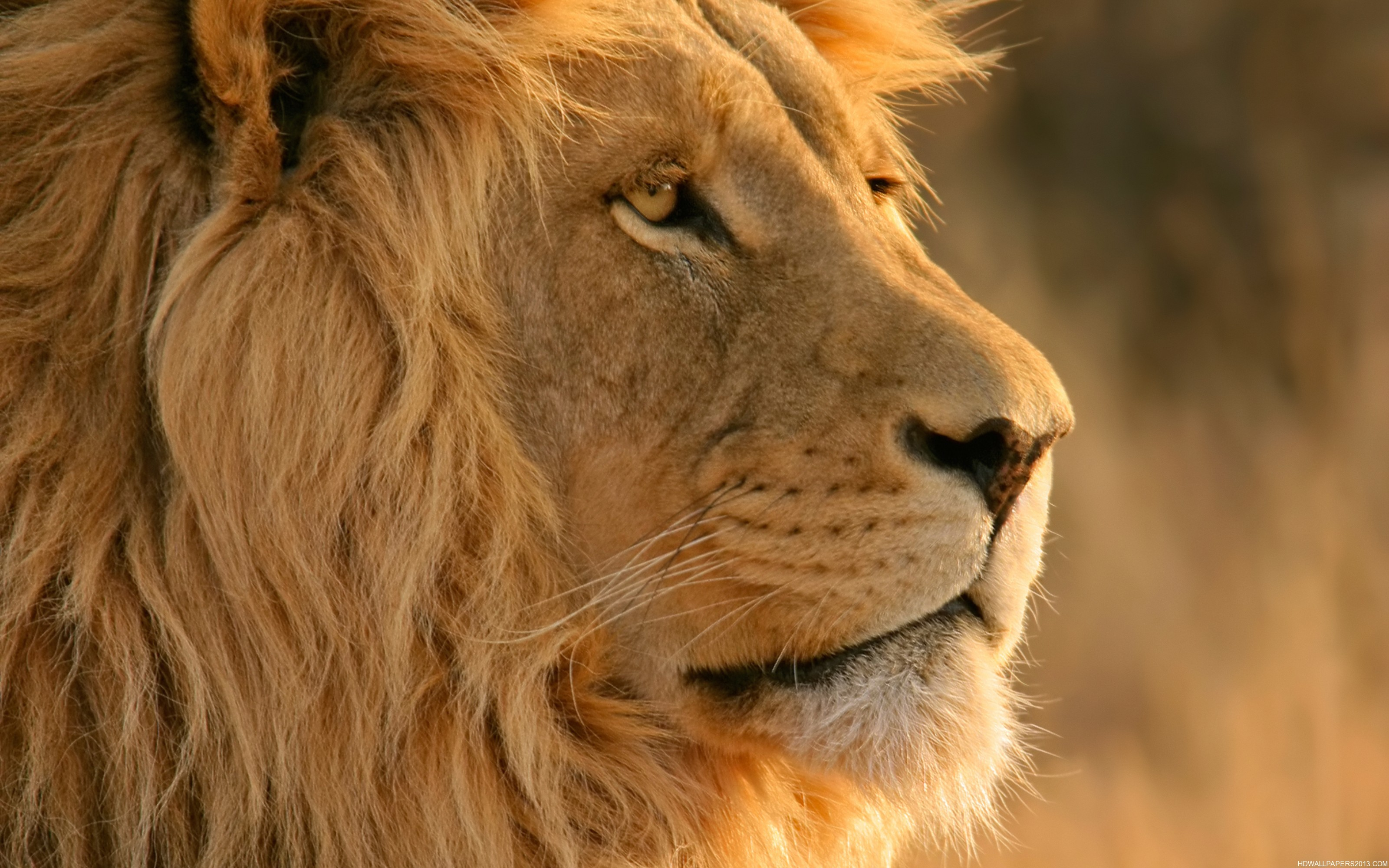 Res: 3200x2000, Lion face