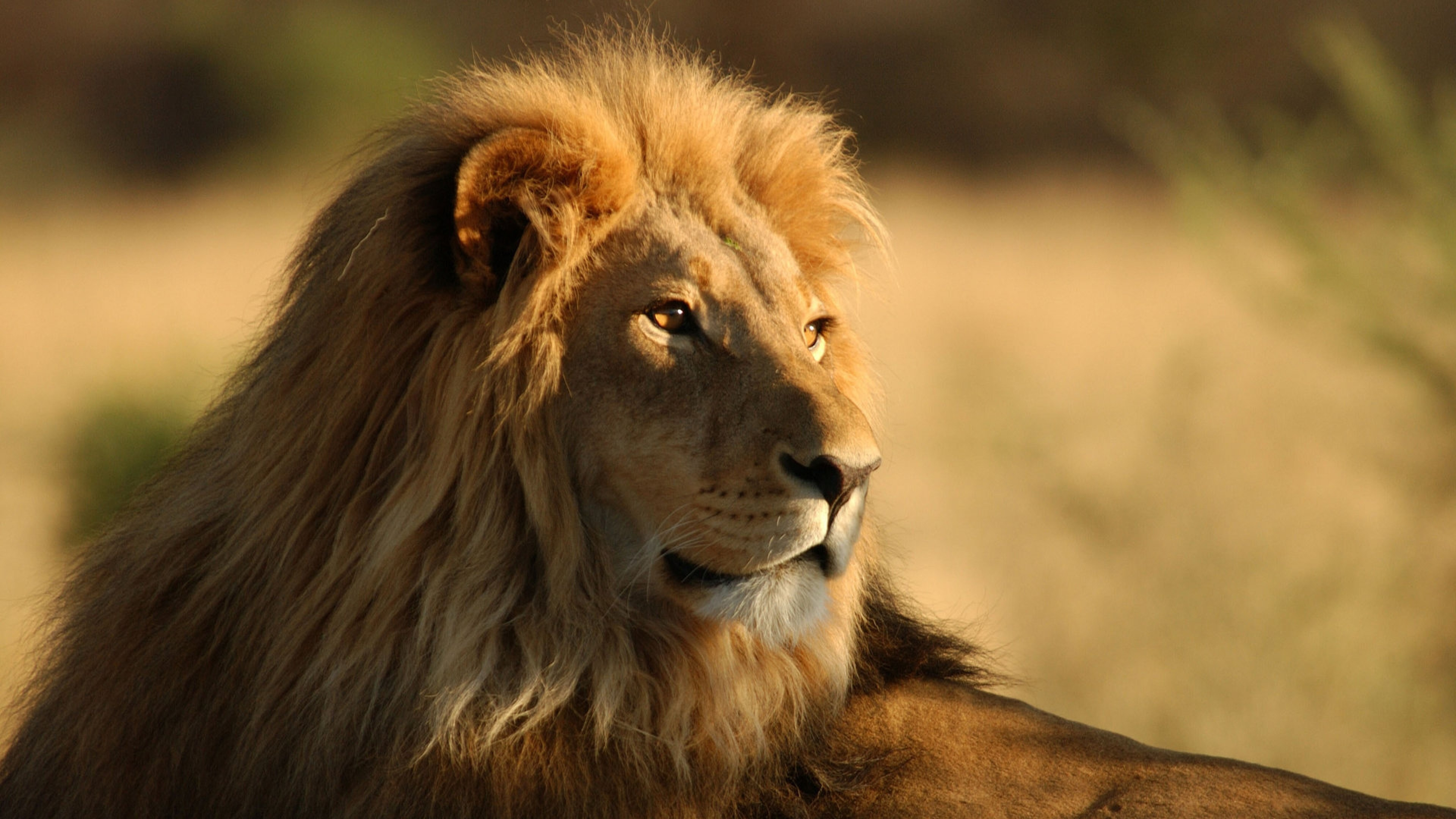 Res: 3840x2160, Lion Wallpapers High Definition