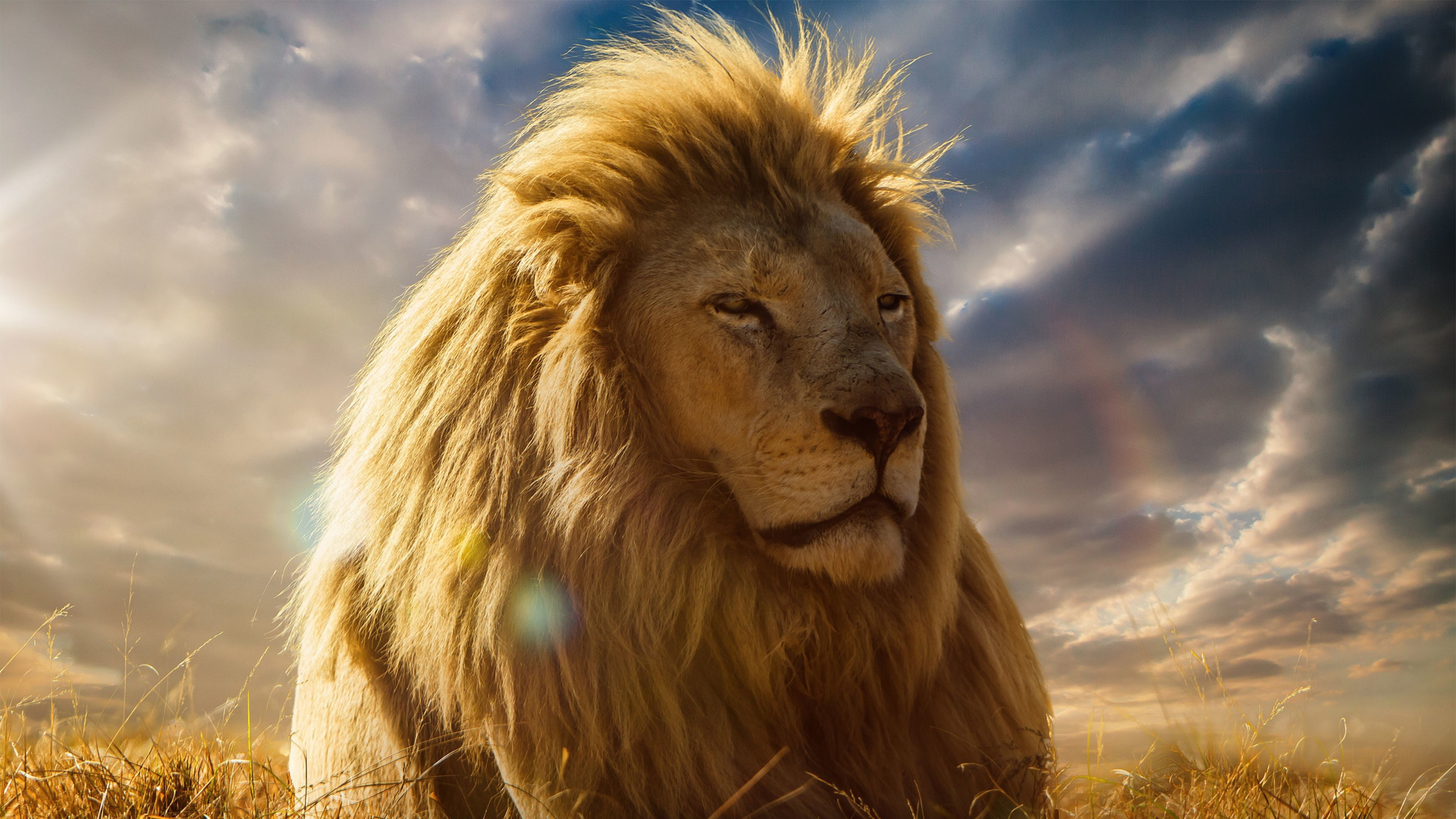 Res: 3840x2160, K Ultra HD Lion Wallpapers HD Desktop Backgrounds x