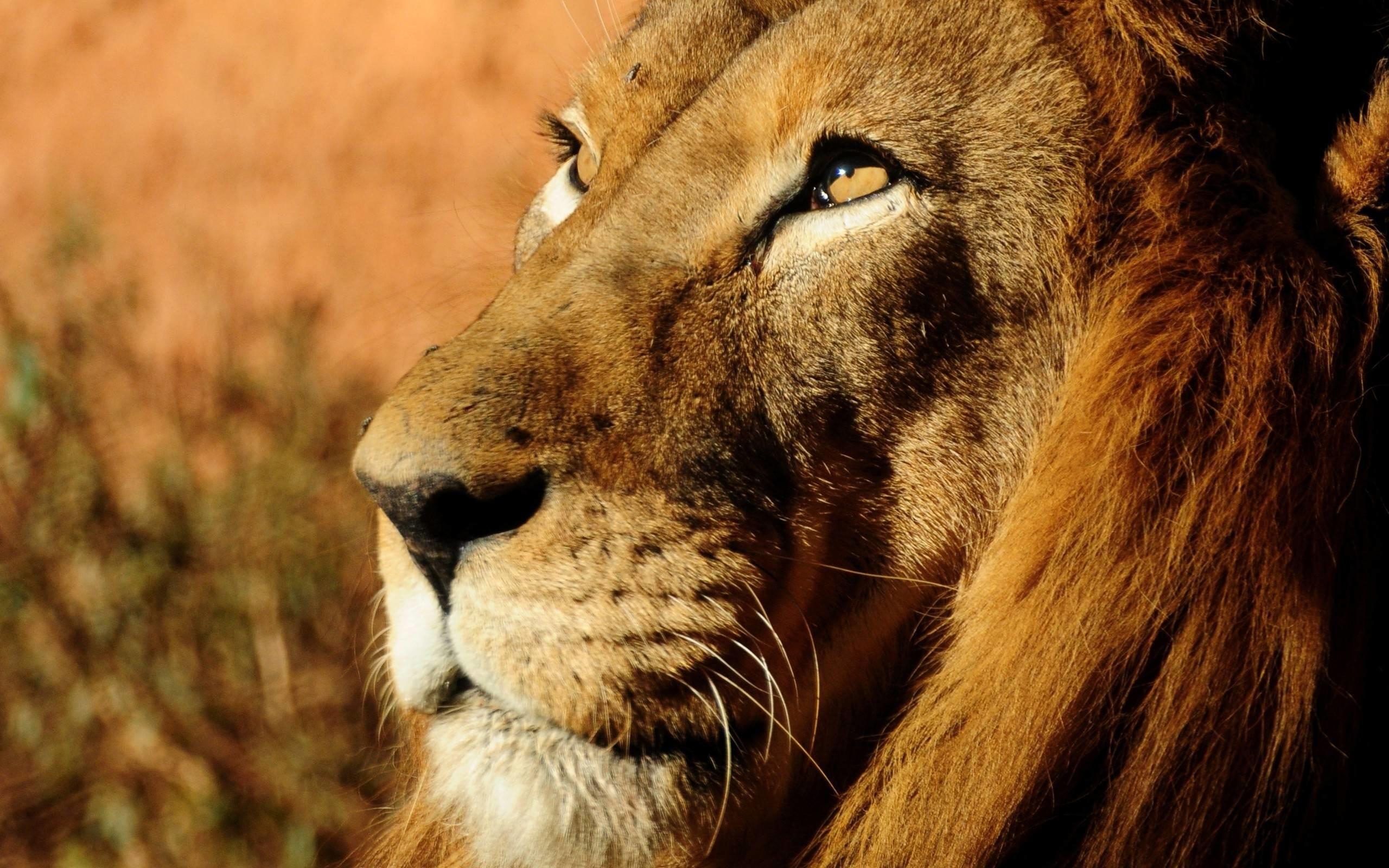 Res: 2560x1600, Lion Face High Definition Wallpaper