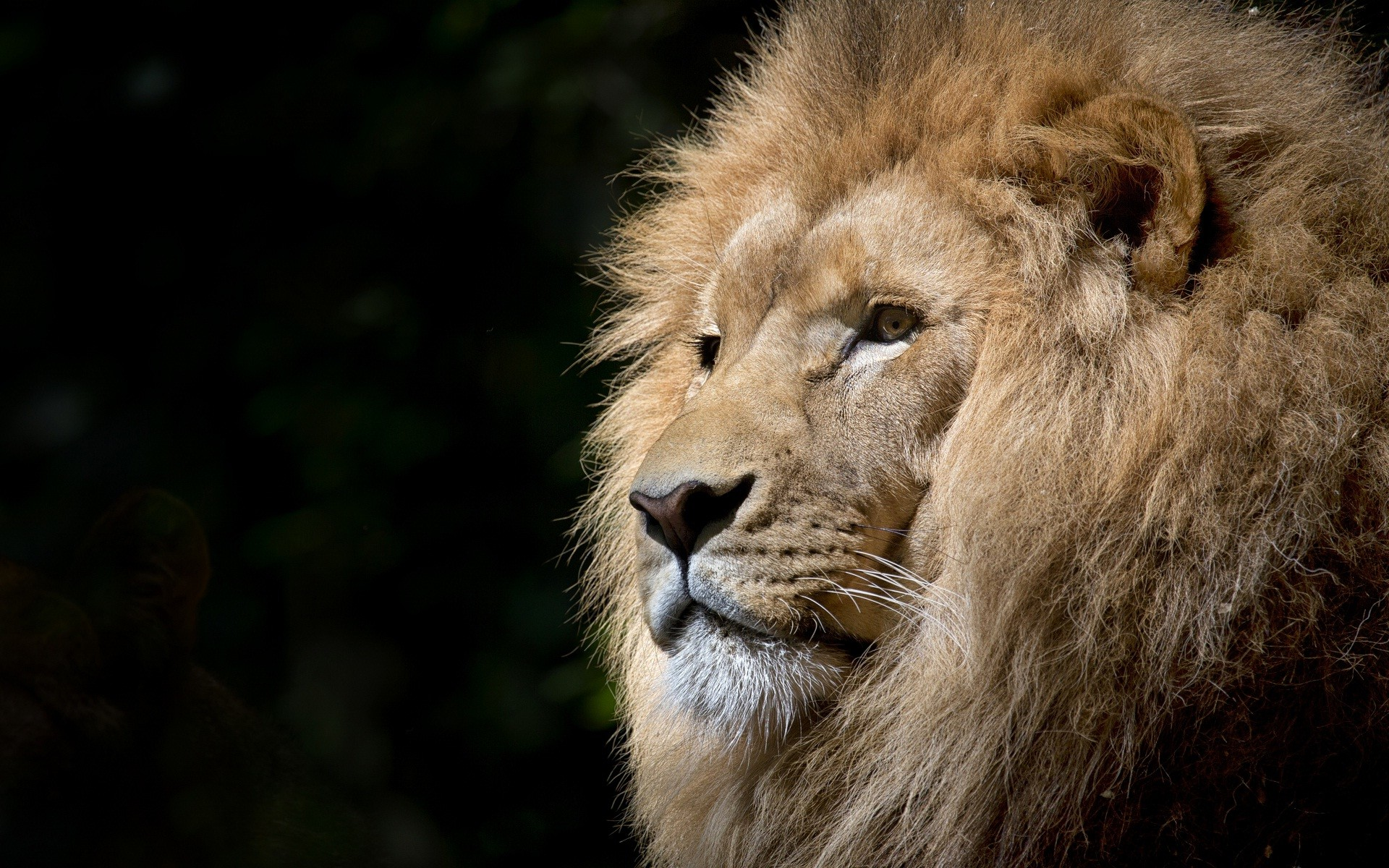 Res: 1920x1200, Lion face most beautiful animal wallpapers