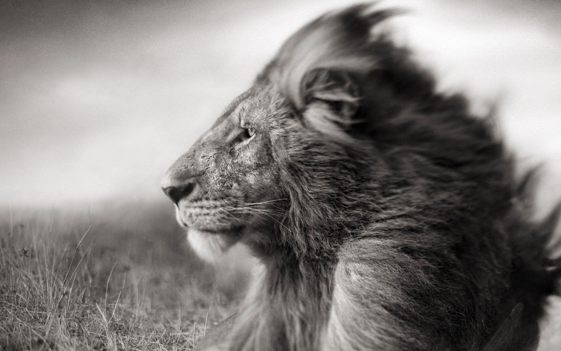 Res: 1920x1200, Lion Face Black And White