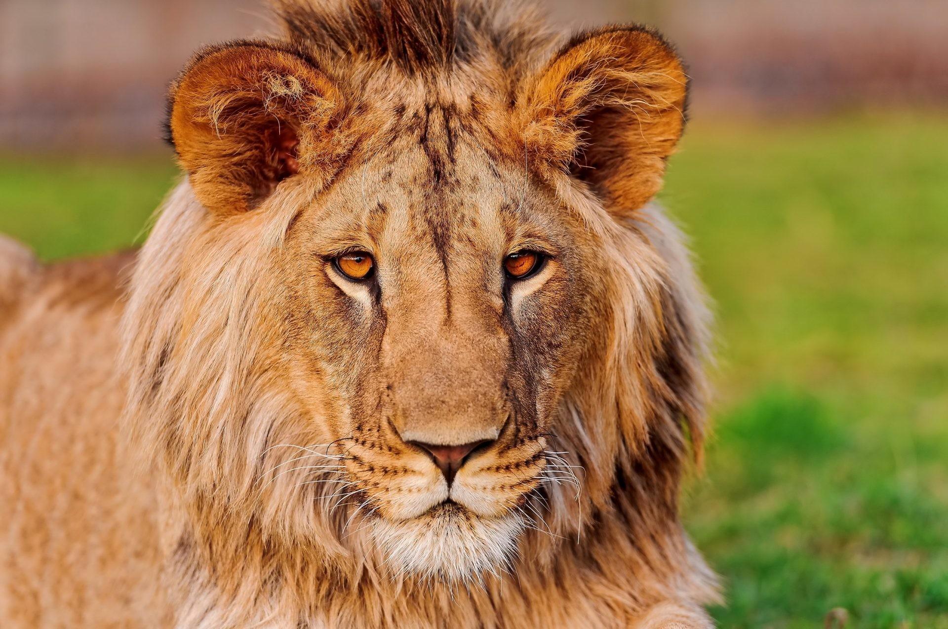 Res: 1920x1274, Download HD Photo Wallpaper Lion Face Eye Predator 058 2560x1699