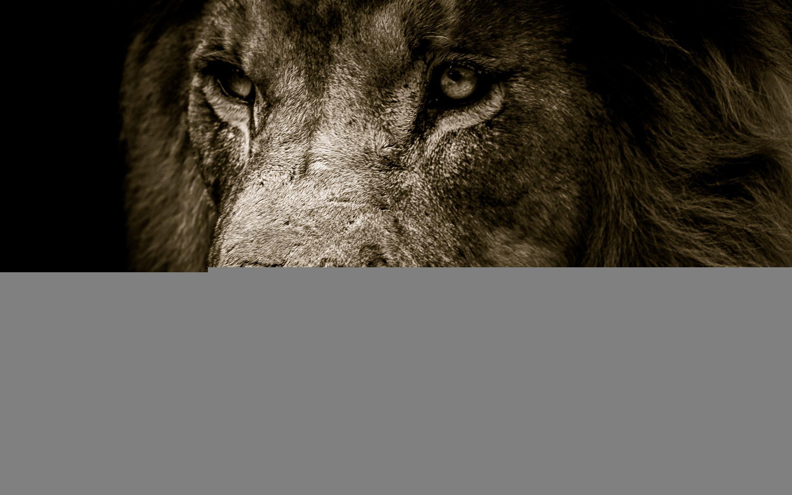 Res: 2560x1600, African Lion Face 4K. Â«Â«