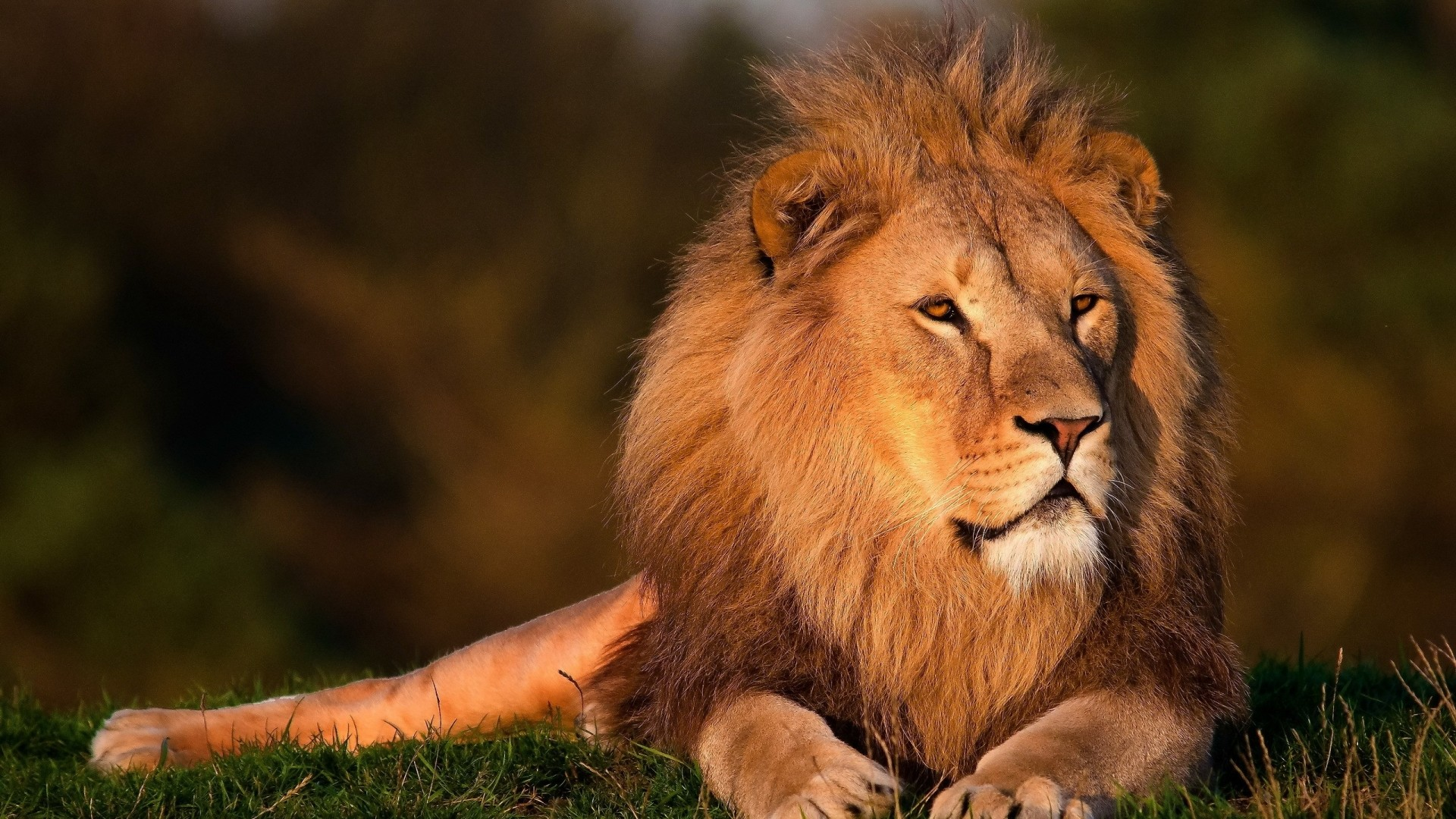 Res: 1920x1080, Download Lion African Face Wide S Wallpaper   Full HD Wallpapers