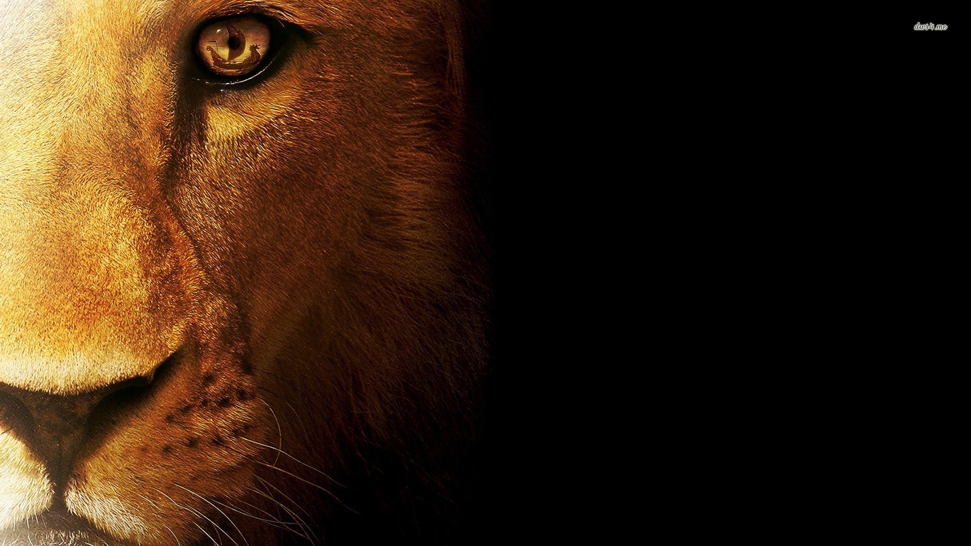 Res: 1920x1080,  Lion Wallpapers Images