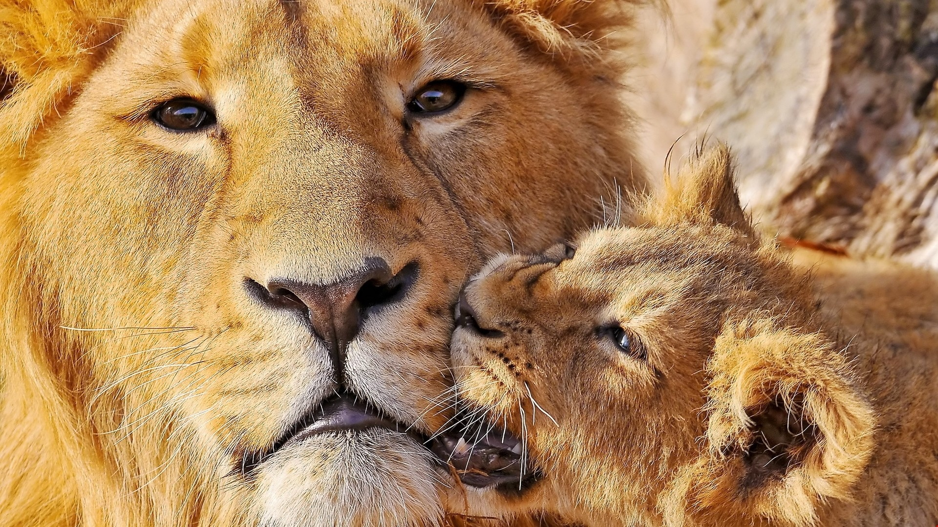 Res: 1920x1080, Download 1k lion, face, cub - Animals Wallpapers HD