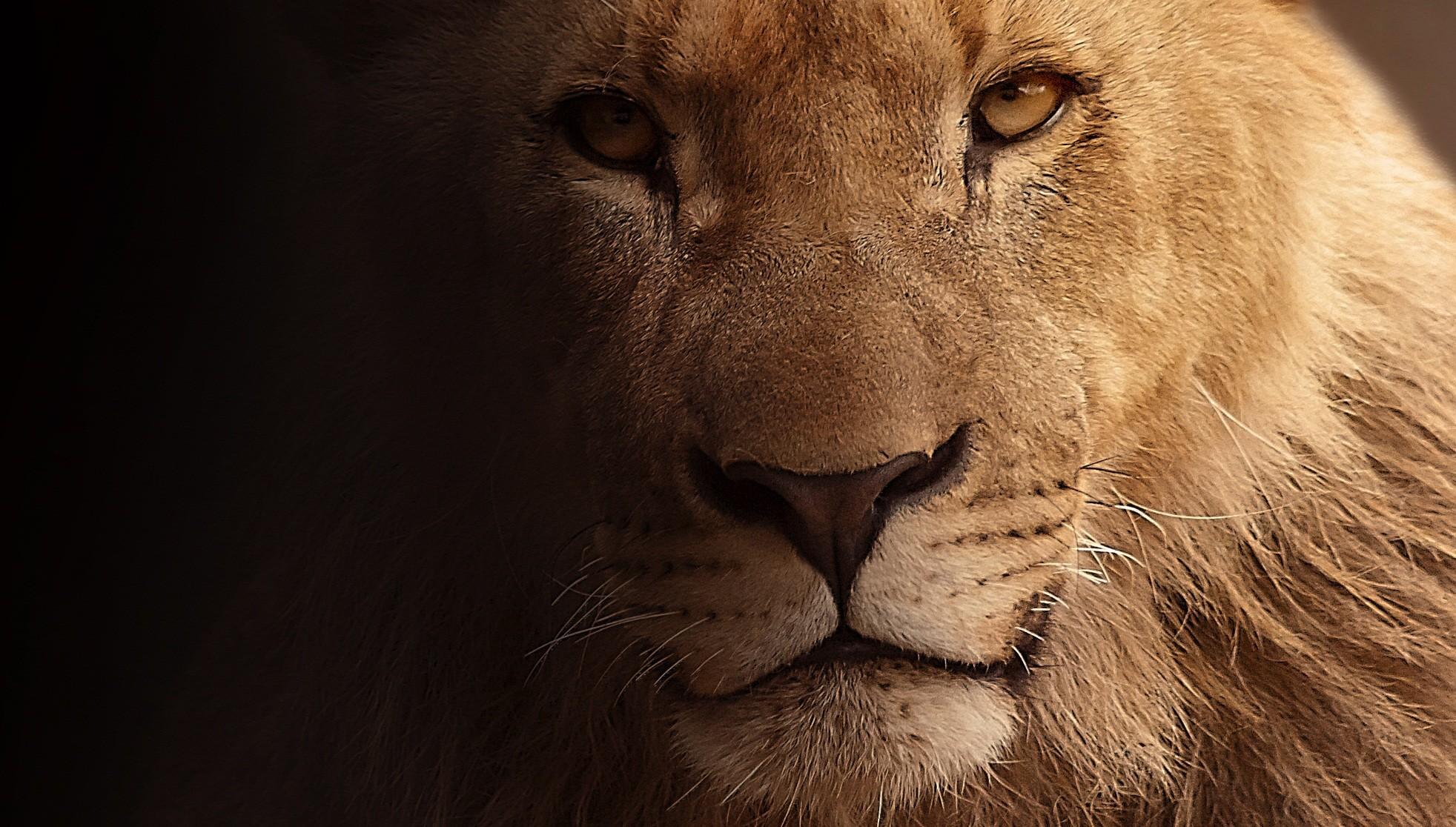 Res: 1964x1116, Lion Face HD. Â«Â«