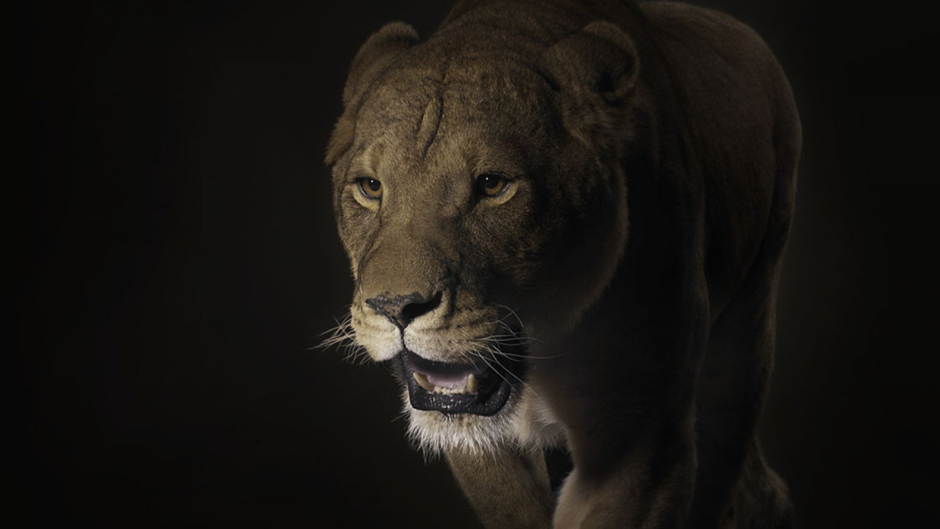 Res: 1920x1080, Get the latest lion, face, shadow news, pictures and videos and learn all  about lion, face, shadow from wallpapers4u.org, your wallpaper news source.