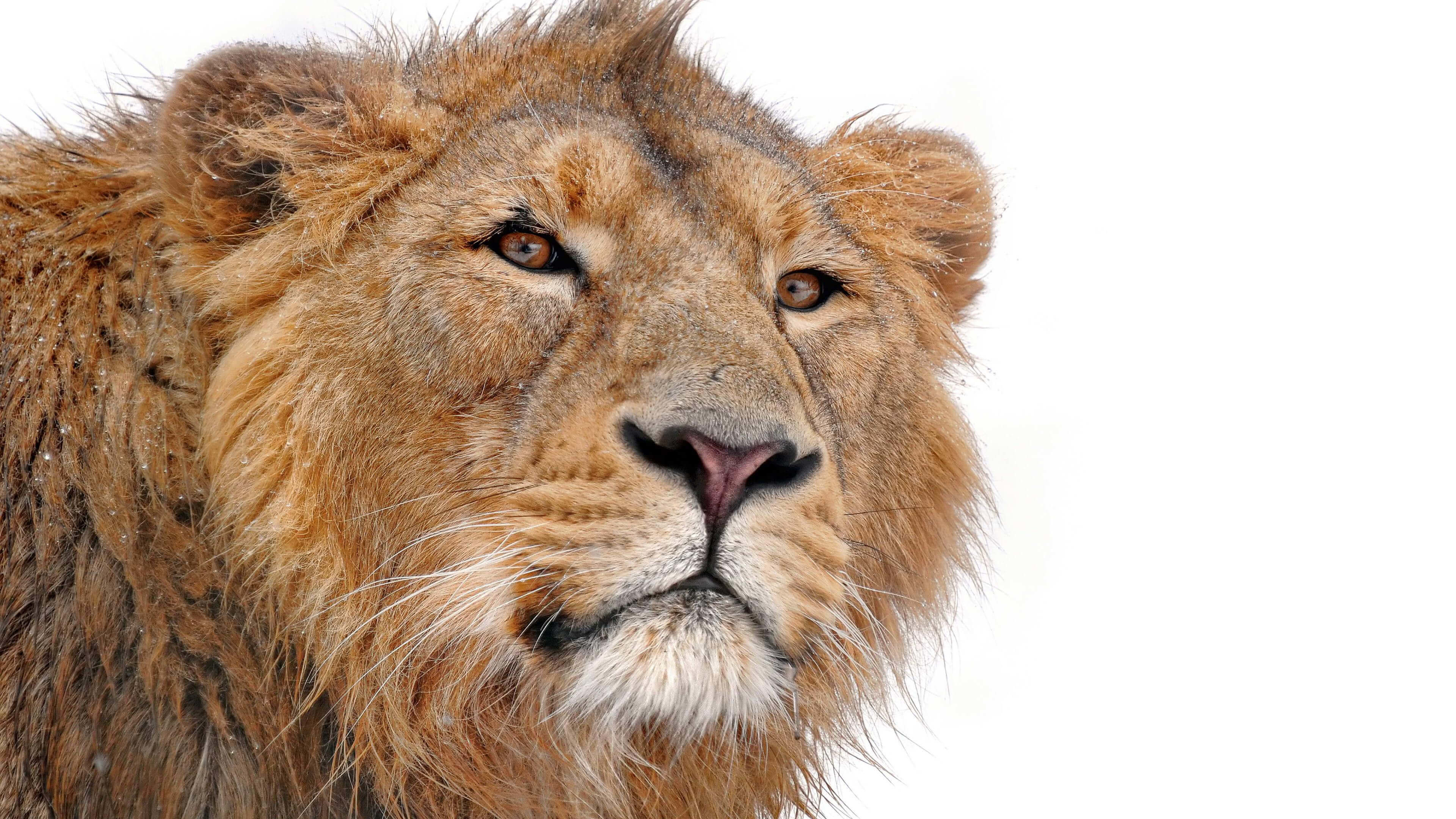 Res: 3840x2160, Lion Face White Background. Rate Wallpaper. DOWNLOAD IMAGE