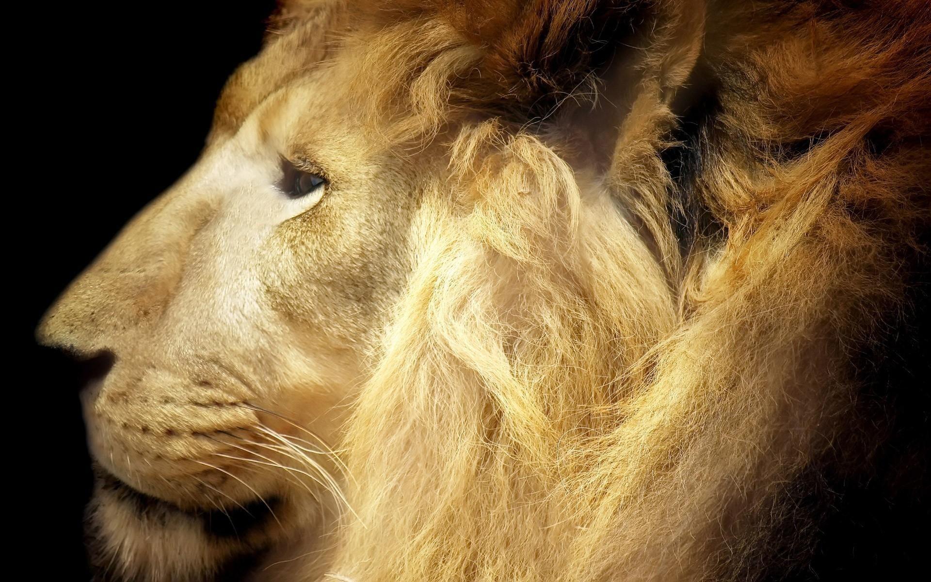 Res: 1920x1200, lion, face, mane
