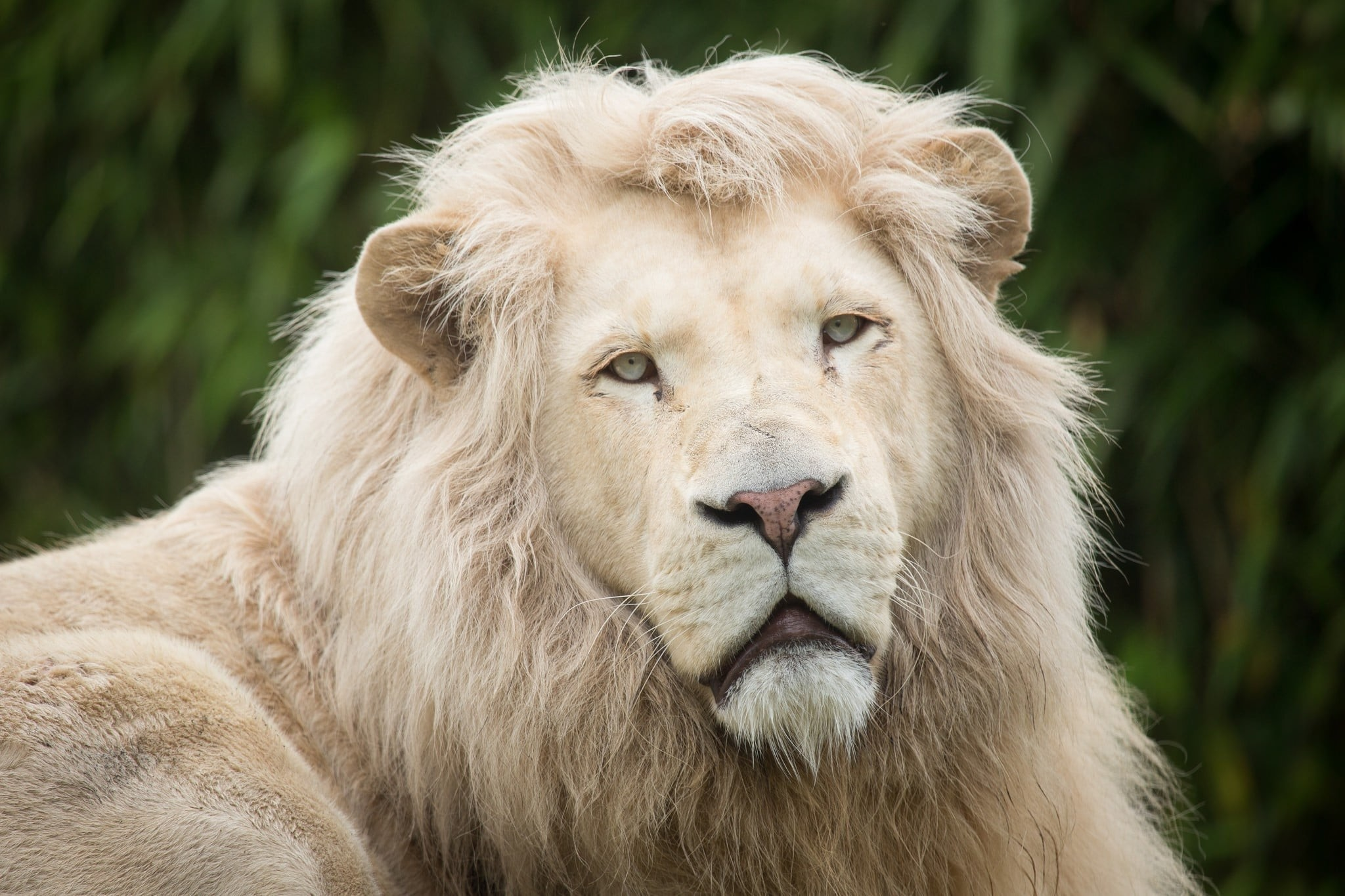 Res: 2048x1365, White Lion Wallpapers 22 - 2048 X 1365