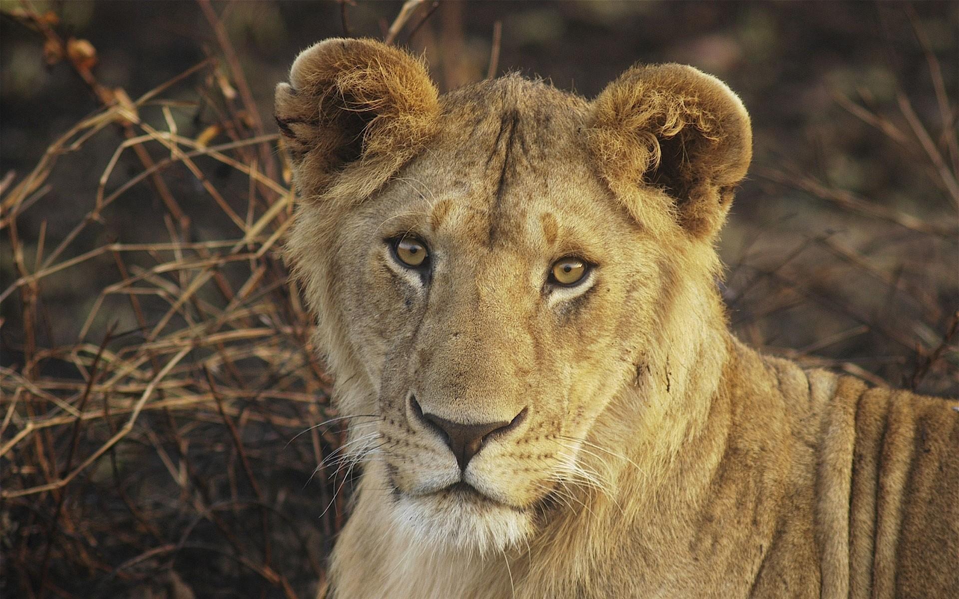 Res: 1920x1200,  Wallpaper lion, young, face, big cat, cute